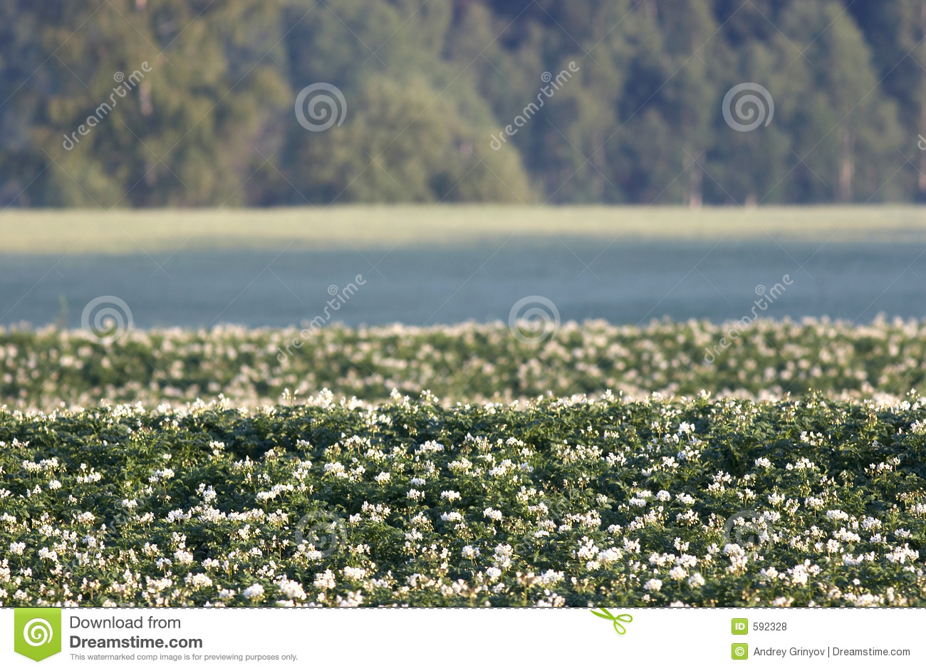 Potato Field With Flowers Royalty Free Stock Photos ...