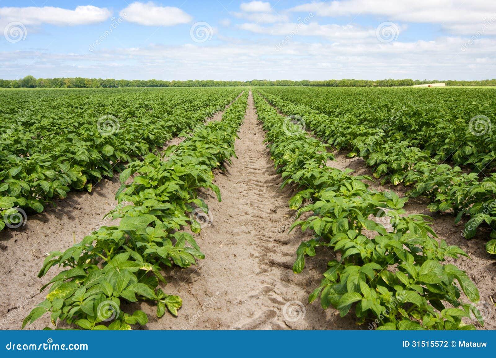 Potato field stock photo. Image of vegetable, industrial ...