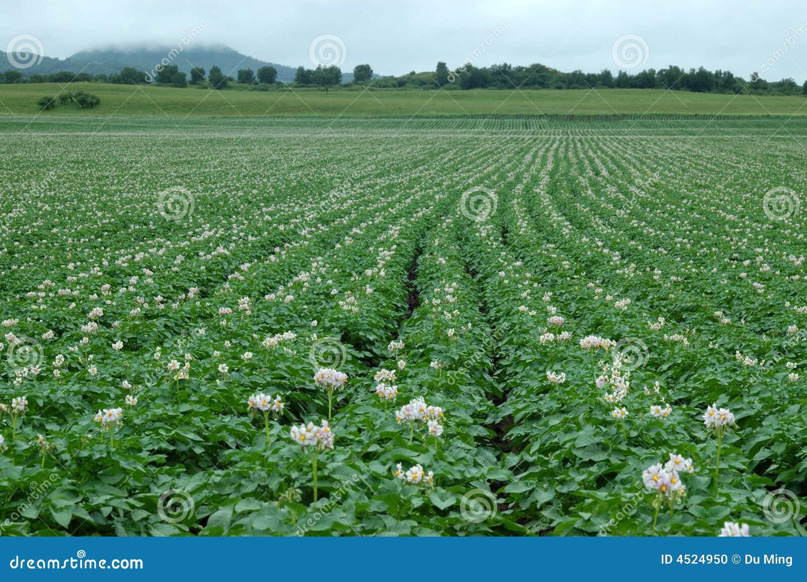 Potato Flower Stock Photo - Image: 4524950