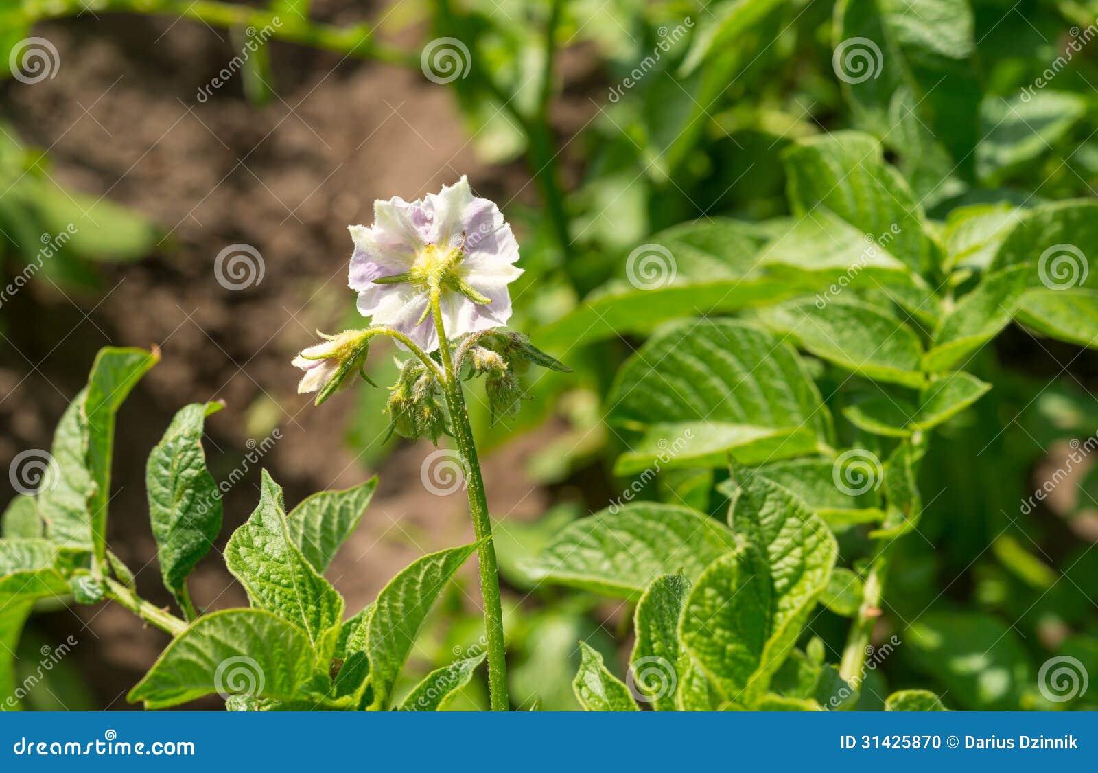 Potato Flower Stock Photo - Image: 31425870