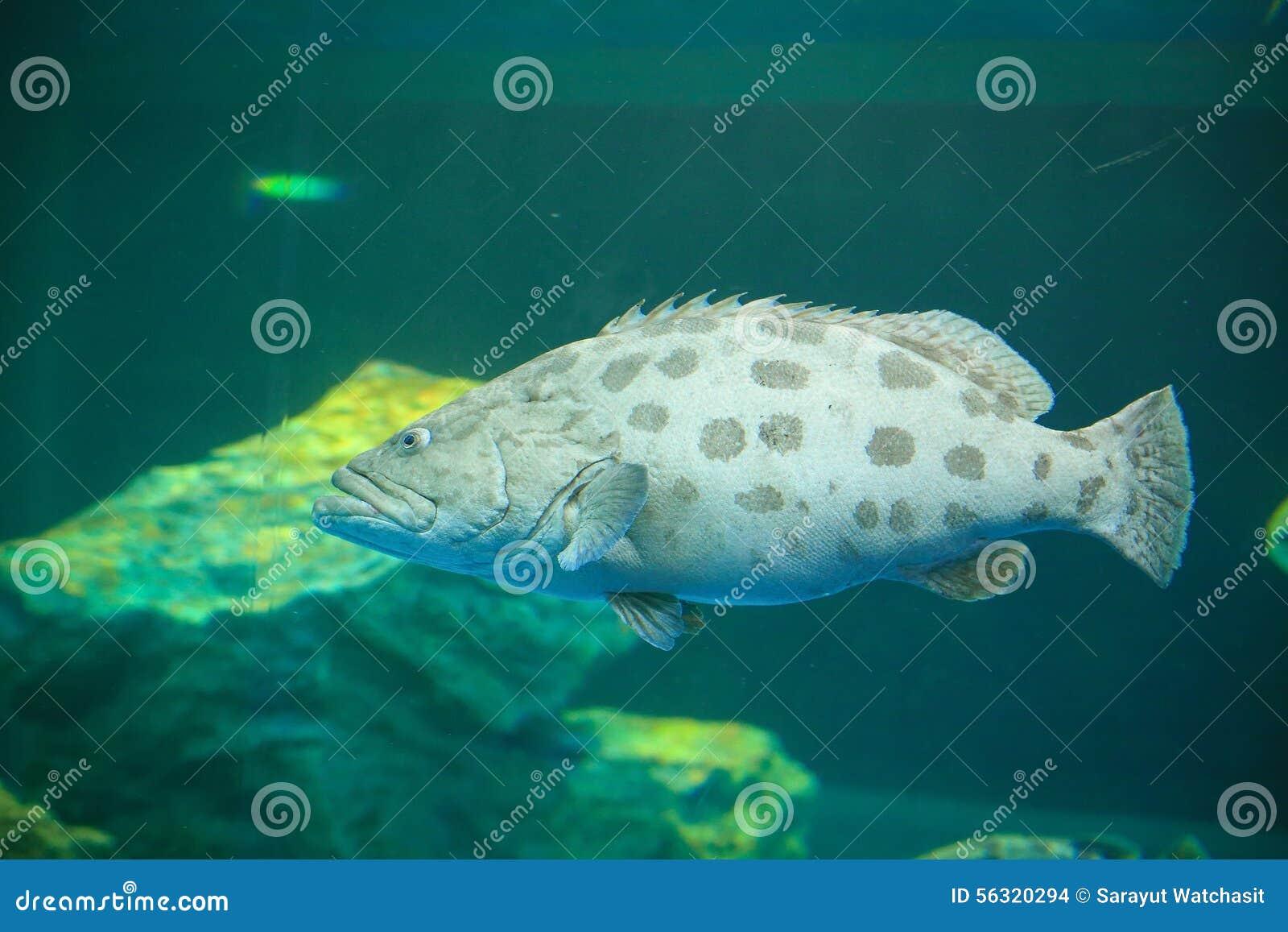 Potato grouper stock photo  Image of malaysia, bass, concern