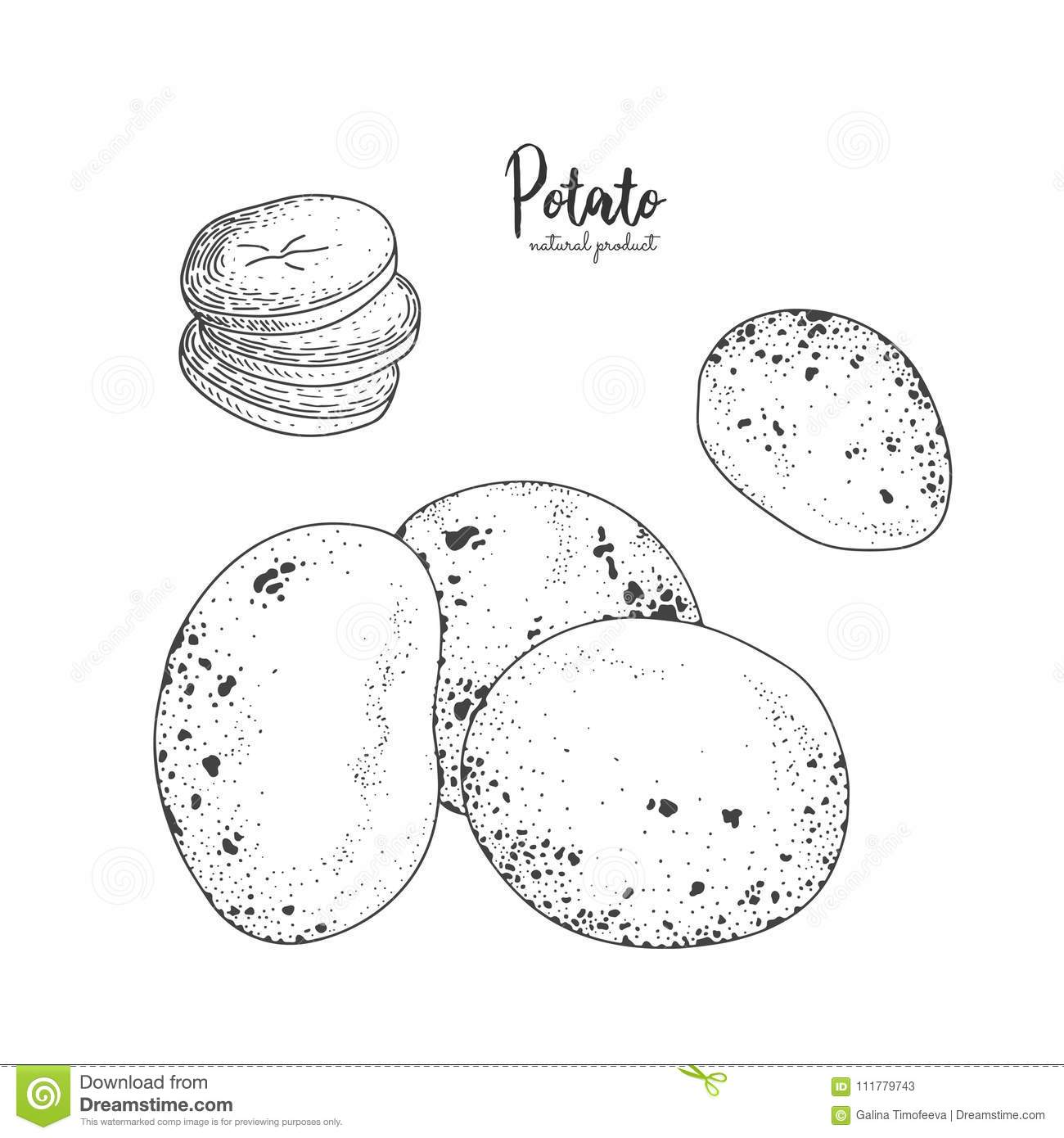 Potato hand drawn vector illustration. Isolated vegetable engraved style object. Detailed vegetarian food drawing. Farm
