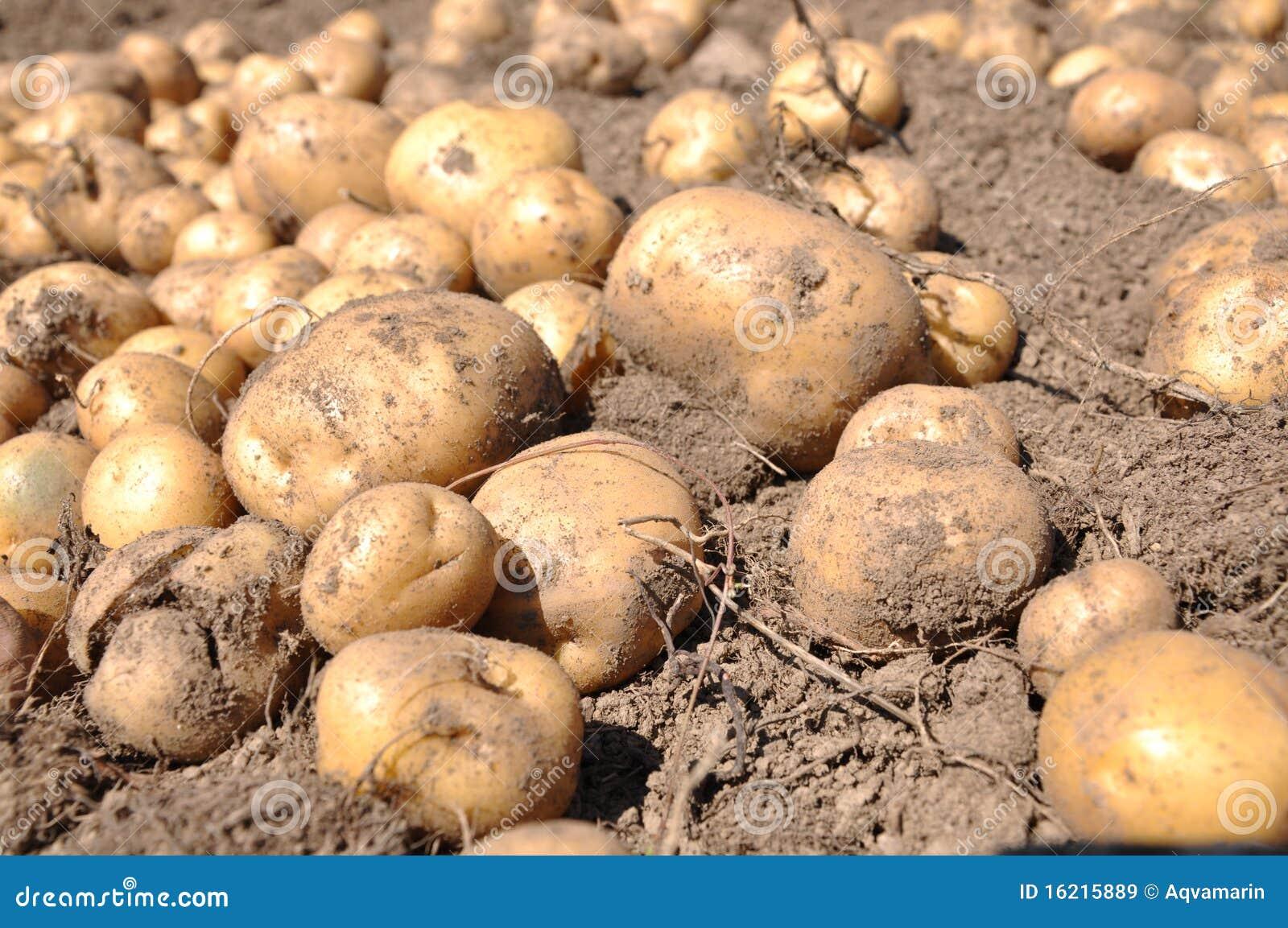 Potato Harvest Royalty Free Stock Images - Image: 16215889