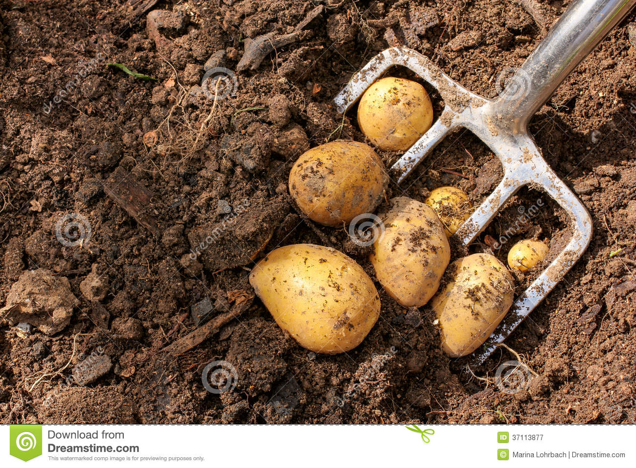 Potato Harvest With Bar Spade Stock Image - Image of earth, waste ...
