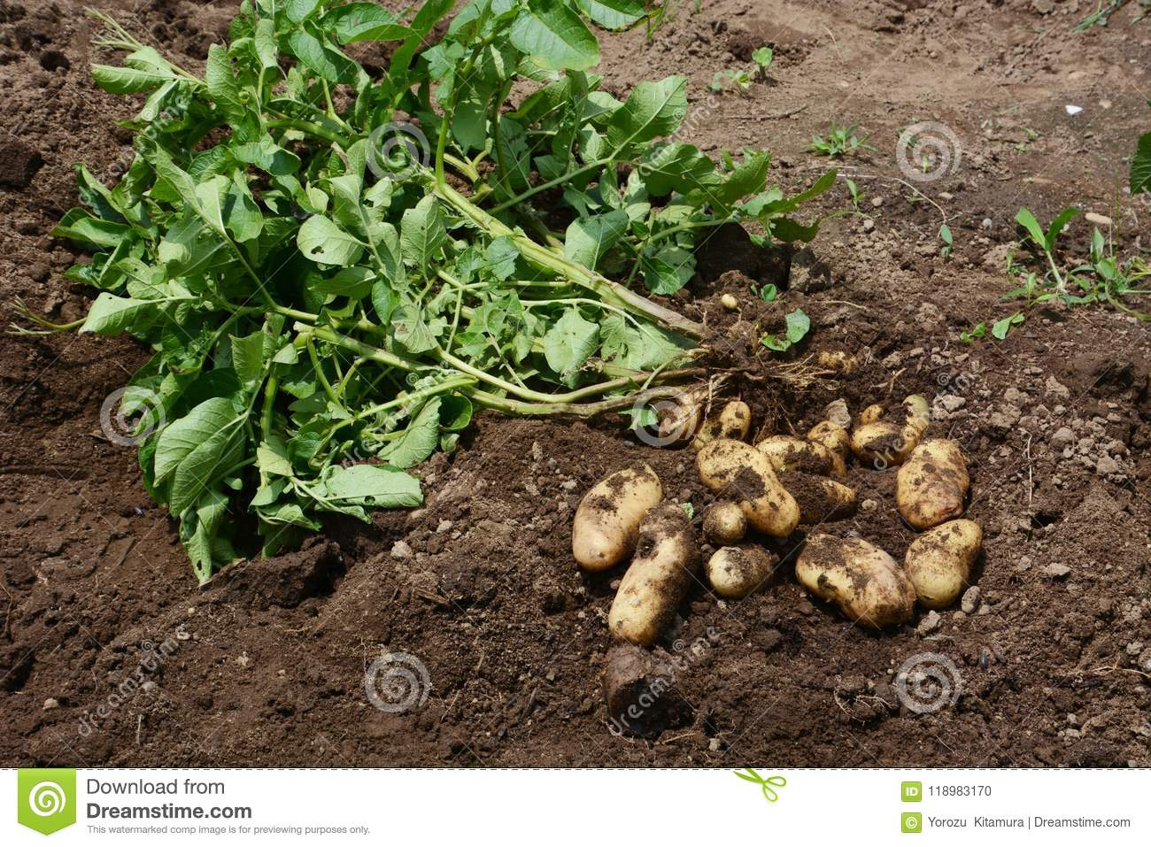 Potato harvest stock photo. Image of cultivated, gardening - 118983170