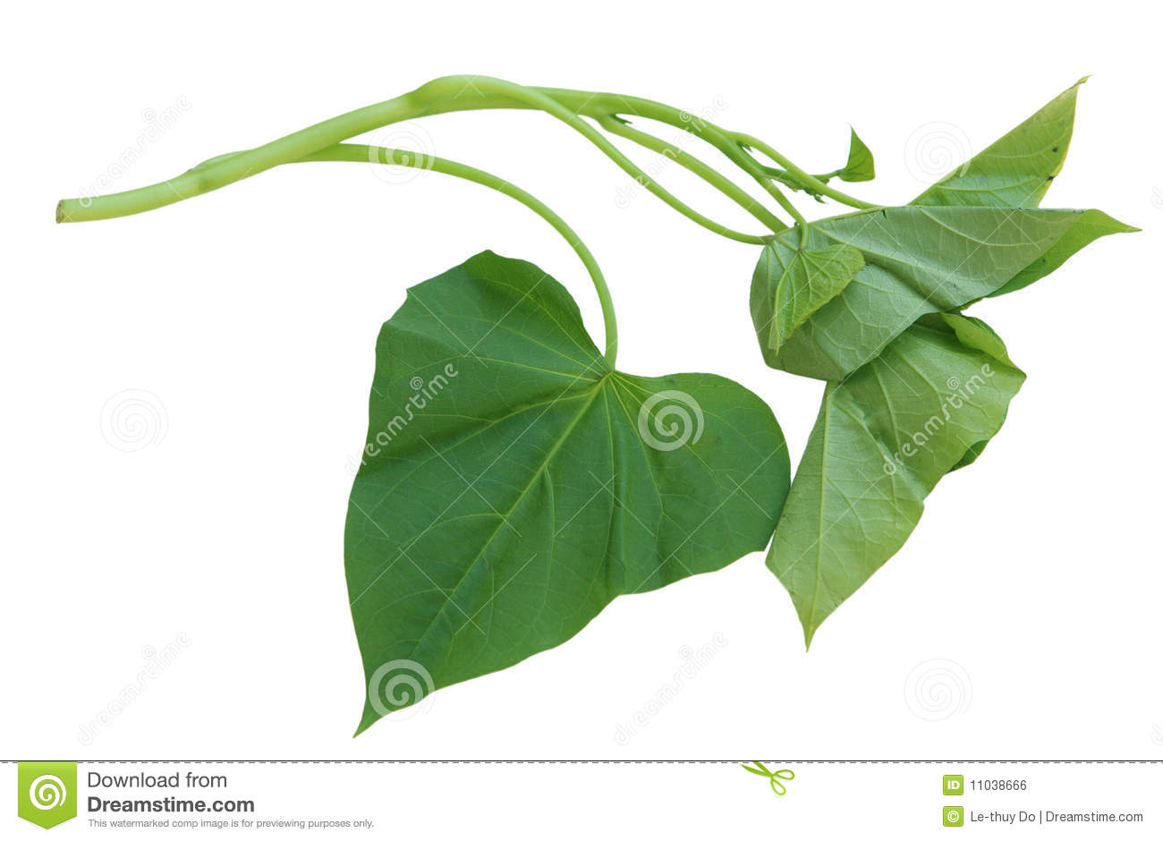 Single branch of sweet potato leaves Belacan Yam Leaf.