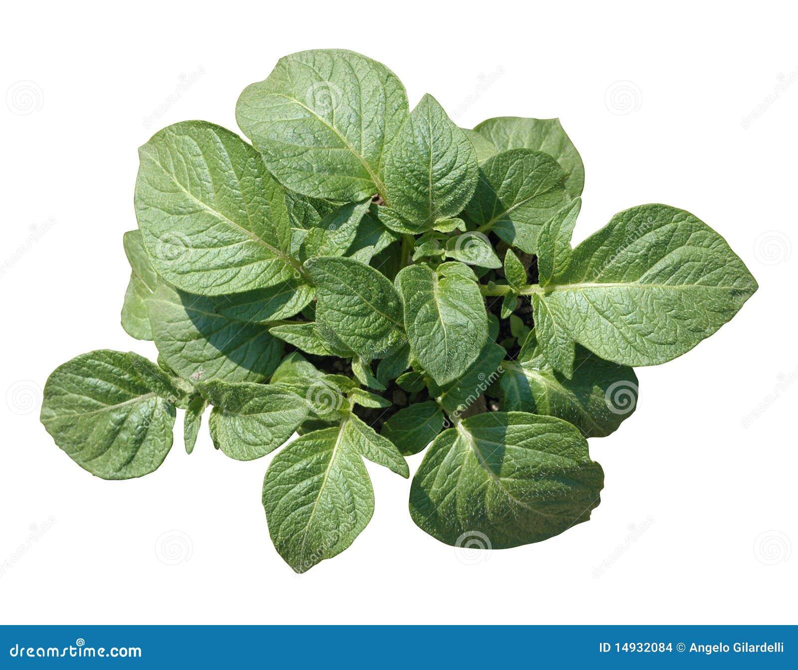 Potato Plant Stock Images - Image: 14932084 Flower Vine Clipart