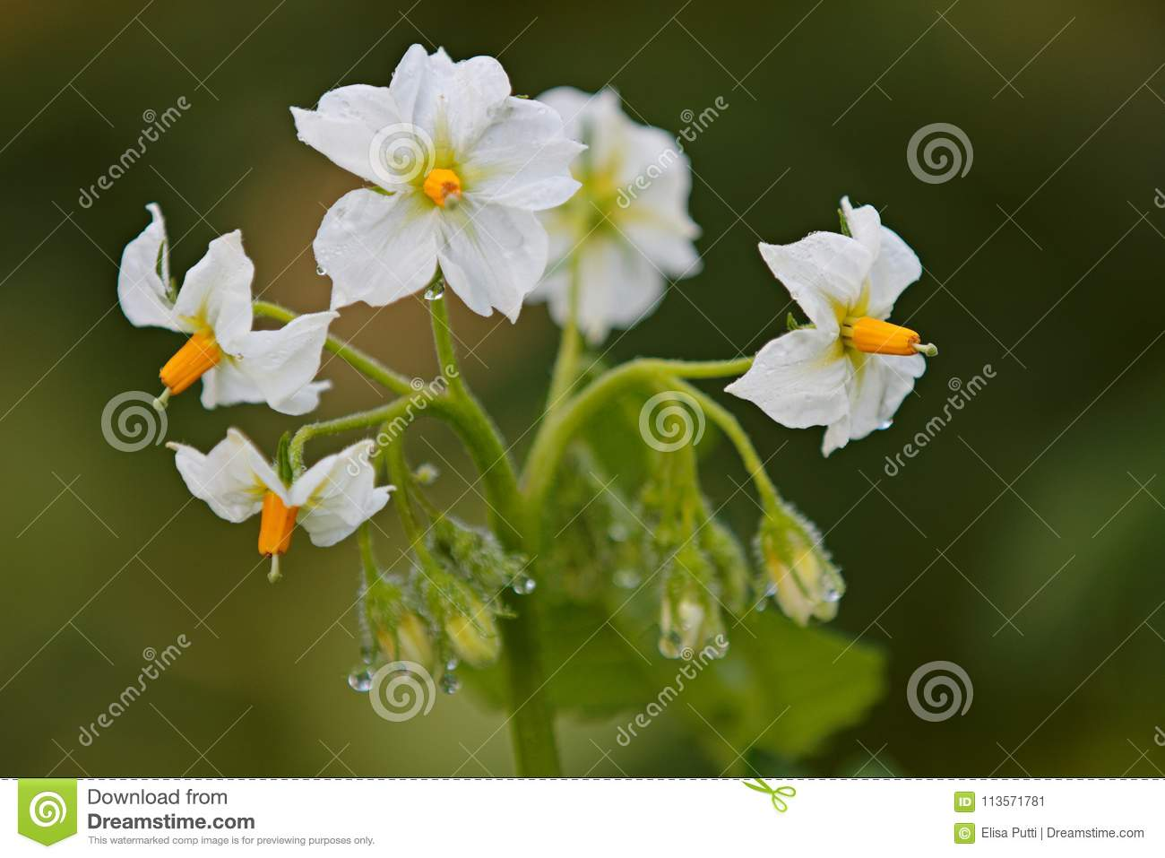 Potato plant blooms with pure white flowers stock image image of download potato plant blooms with pure white flowers stock image image of toxic bloom mightylinksfo