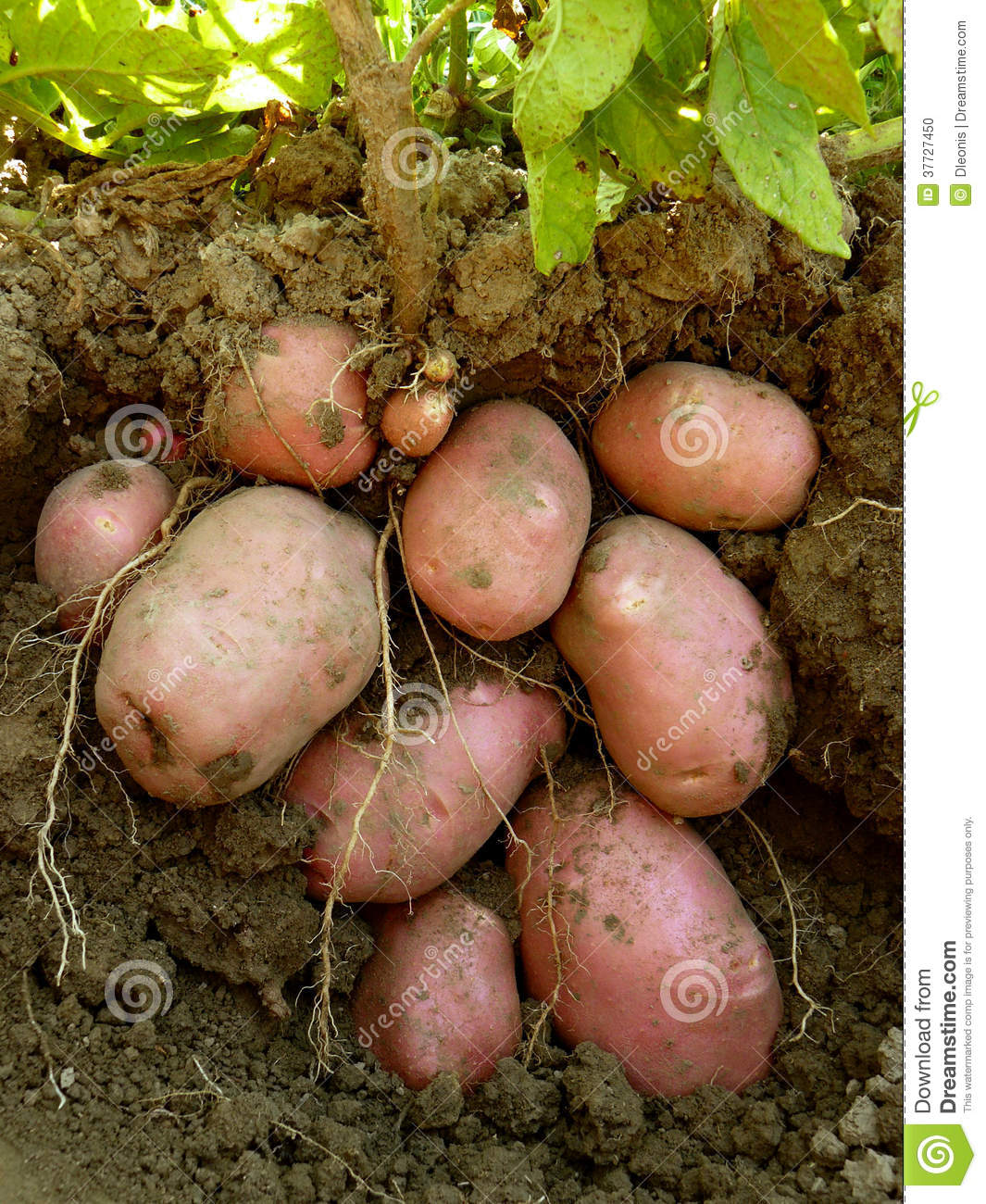 potato plant with tubers stock photo image 37727450. Black Bedroom Furniture Sets. Home Design Ideas