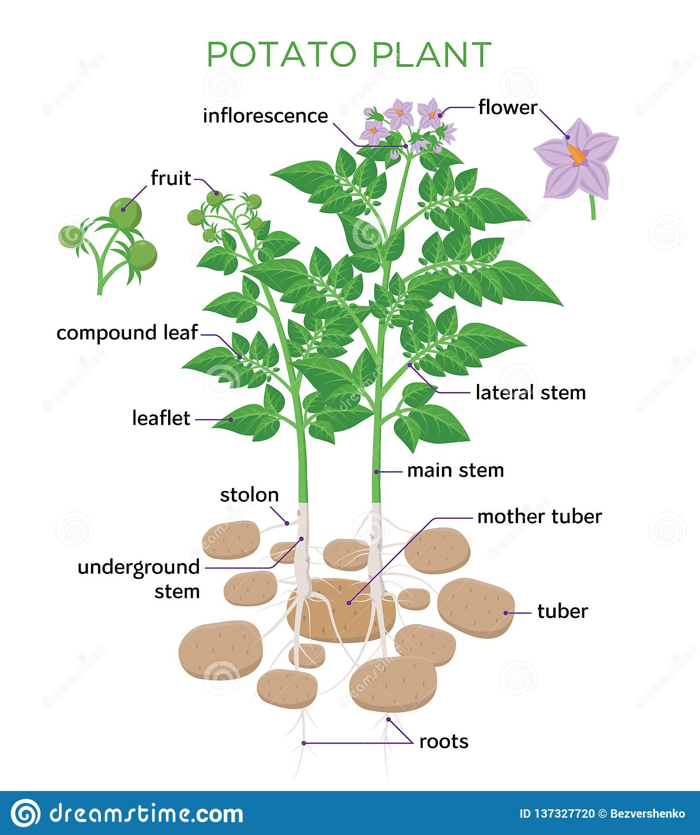potato plant vector illustration in flat design  potato growth diagram with  parts of plant,