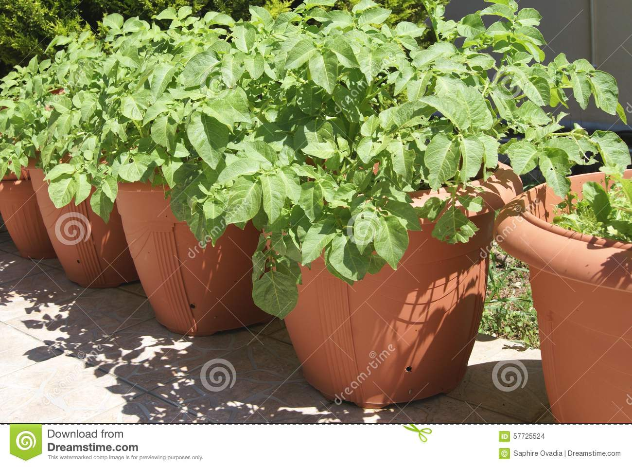 Potato plants growing in pots in a garden stock photo image 57725524 - Planter des patates ...