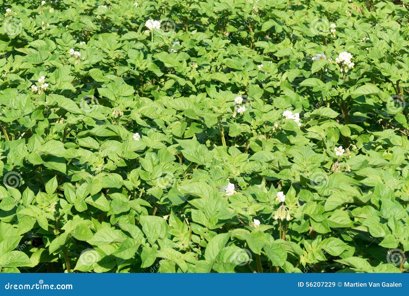 Potato plants stock photo image 56207229 for Dream plants for the natural garden