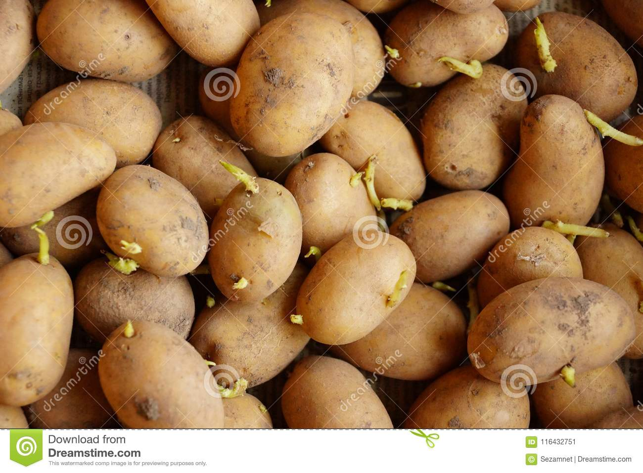Potato Sprouts For Planting Germinated Stock Image Image Of