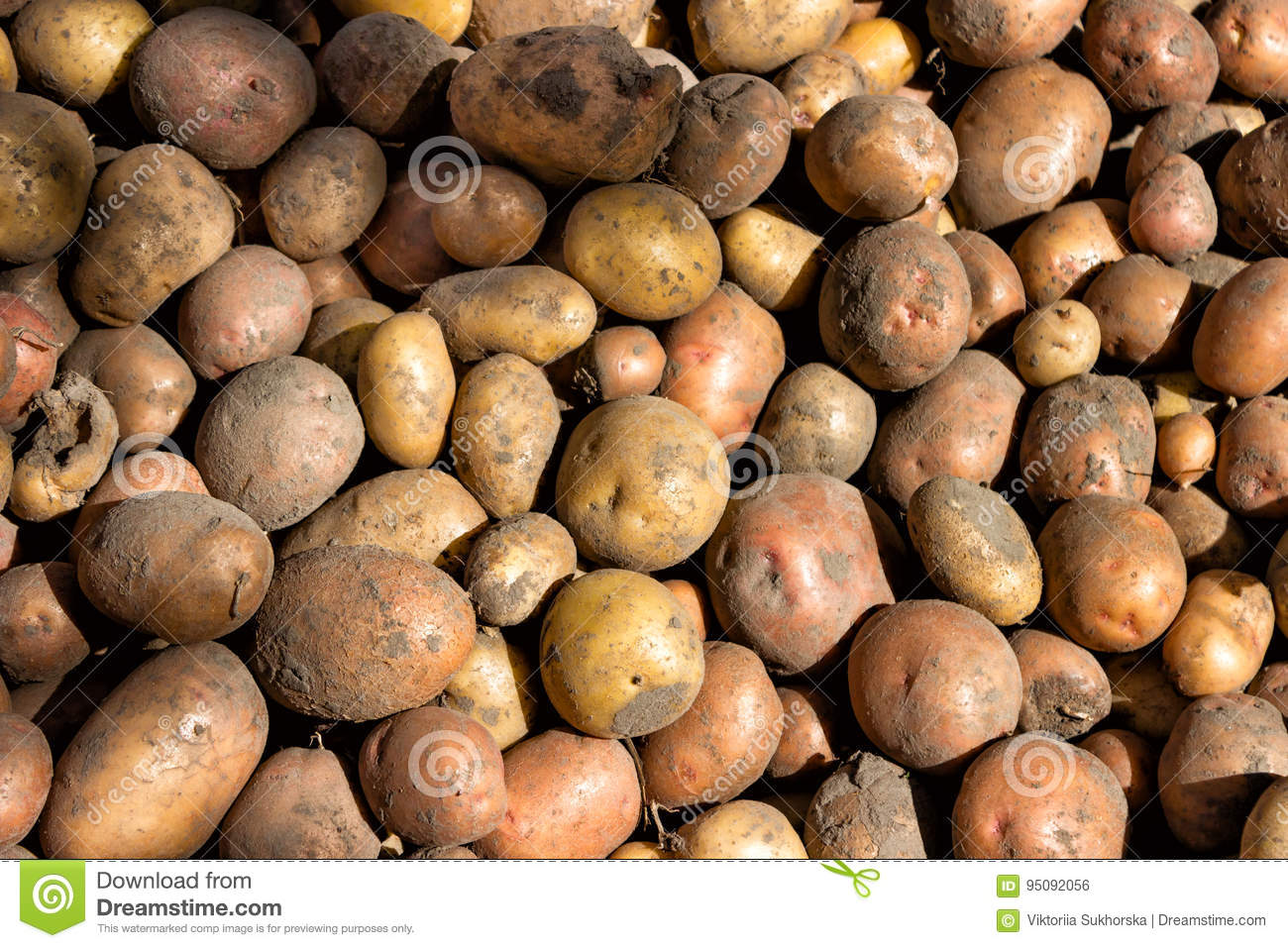 Potato tubers in bulk, harvested crop autumnal suffering