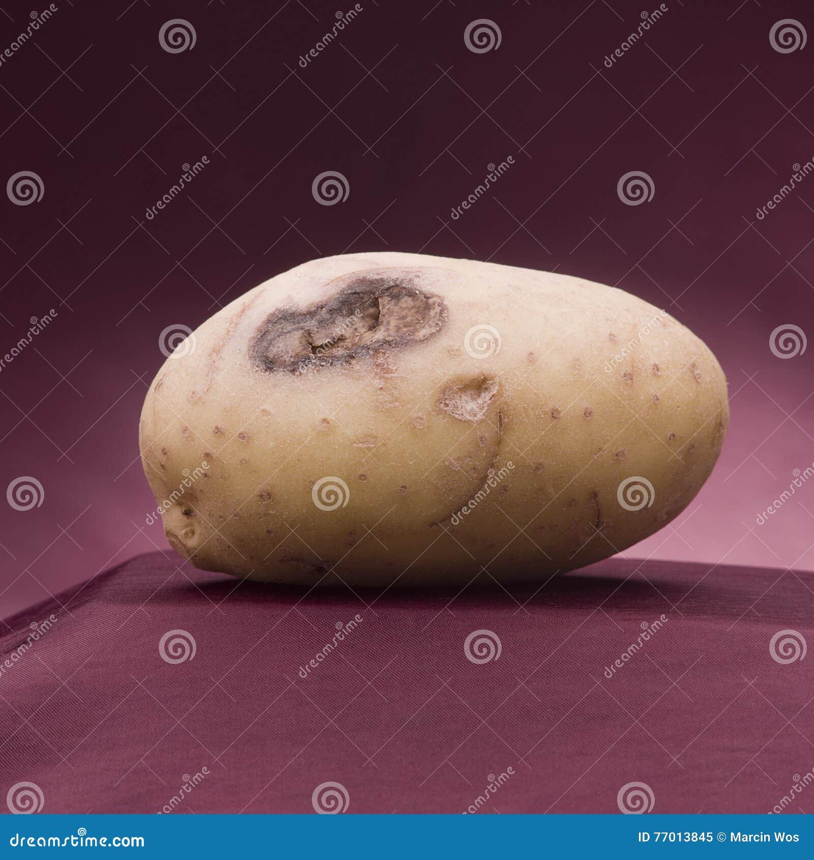 Potato white Картошка атакованная заболеванием