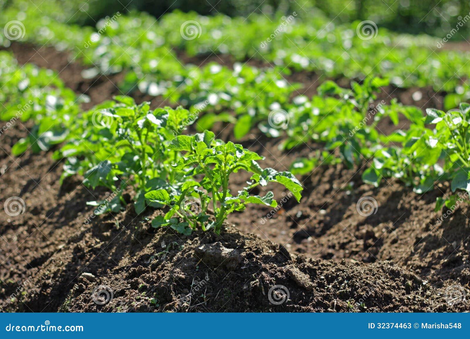 Potatoe plant stock photos image 32374463 for Dream plants for the natural garden