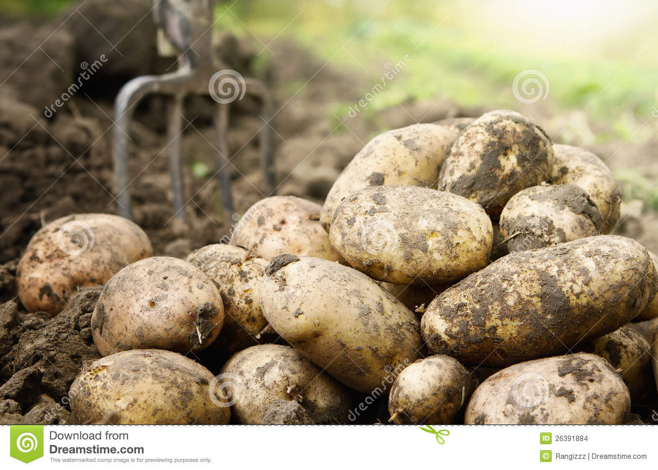 Download Potatoes in the field stock photo. Image of fries, food - 26391884