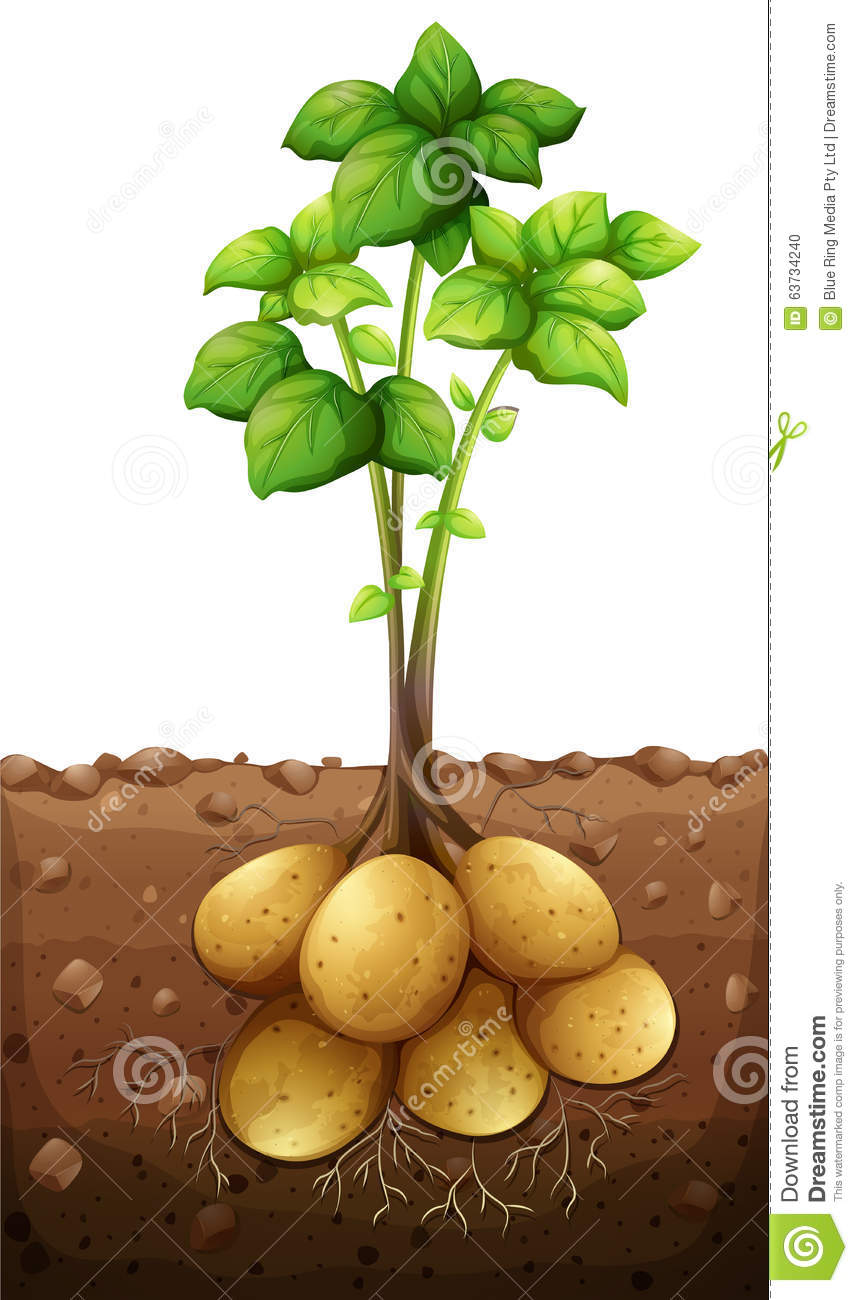 potatoes plant under the ground stock vector
