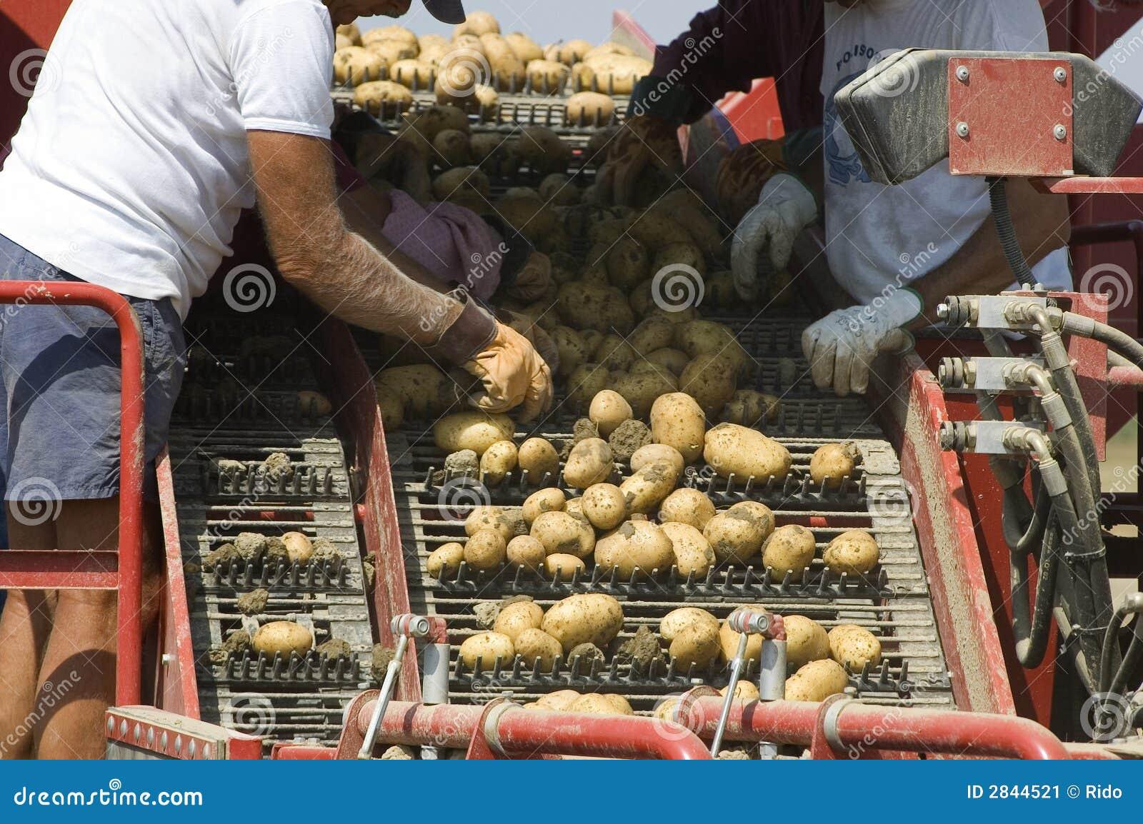 Potatoes selection