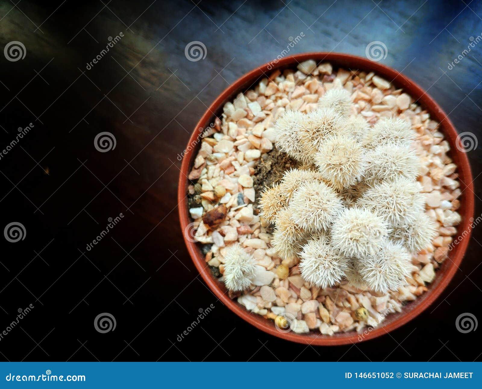 Pote del cactus de Brown en la tabla de madera oscura