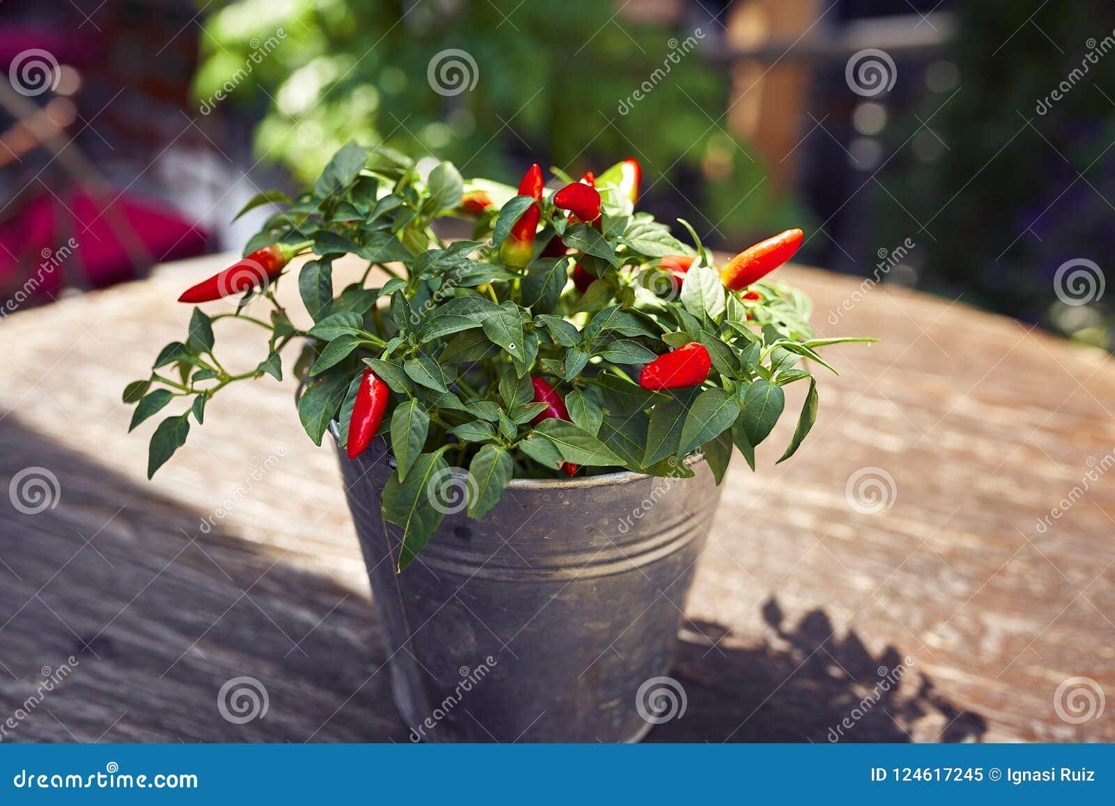 Potenciômetro da planta do pimento