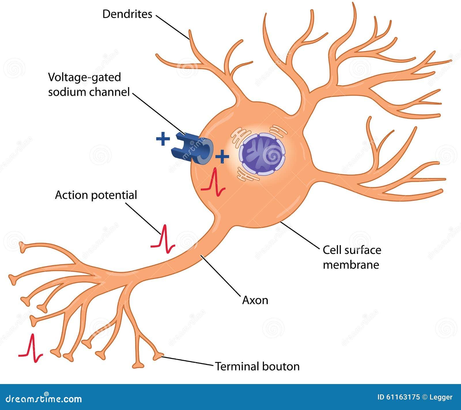 Potencial De Acción En Una Célula Nerviosa Ilustración del Vector ...