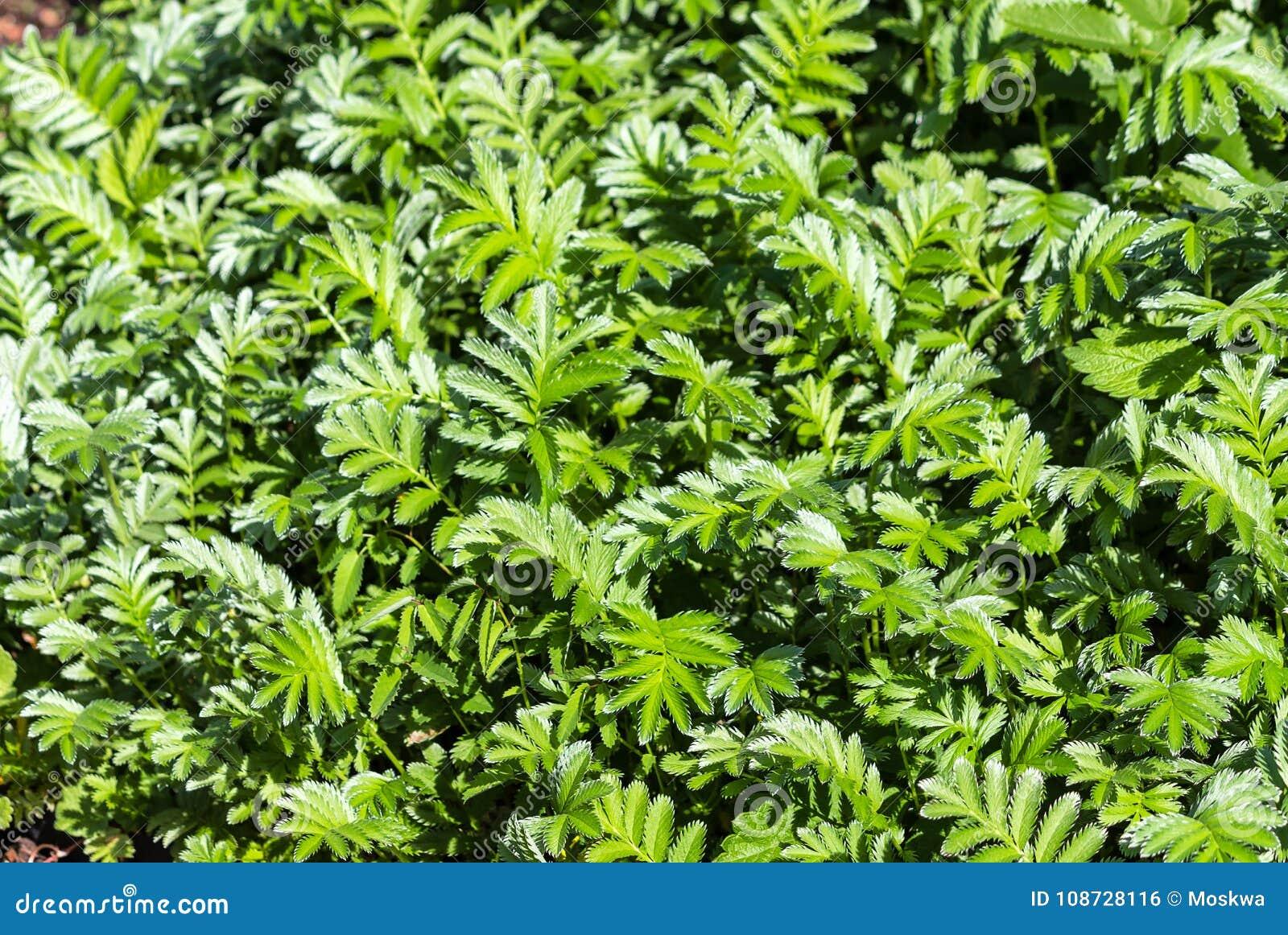 Silverweed shrub. Most popular varieties 99