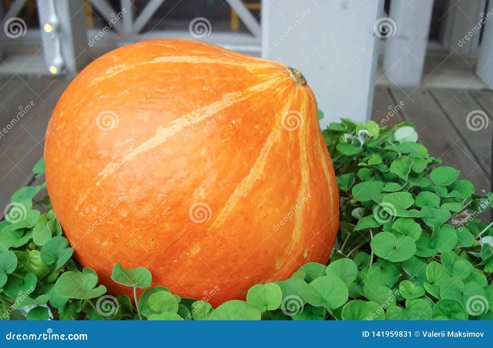 Potiron orange sur un fond de plantes vertes