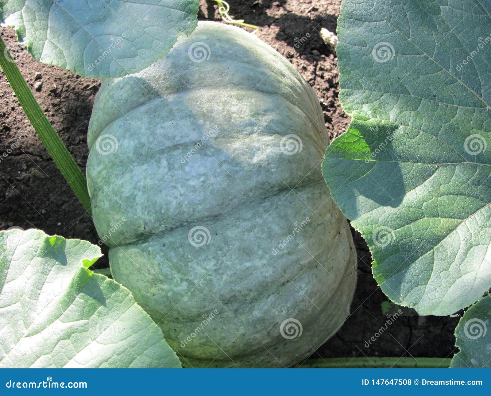 Potiron suffisant de tante dans des vêtements faits de feuilles vertes