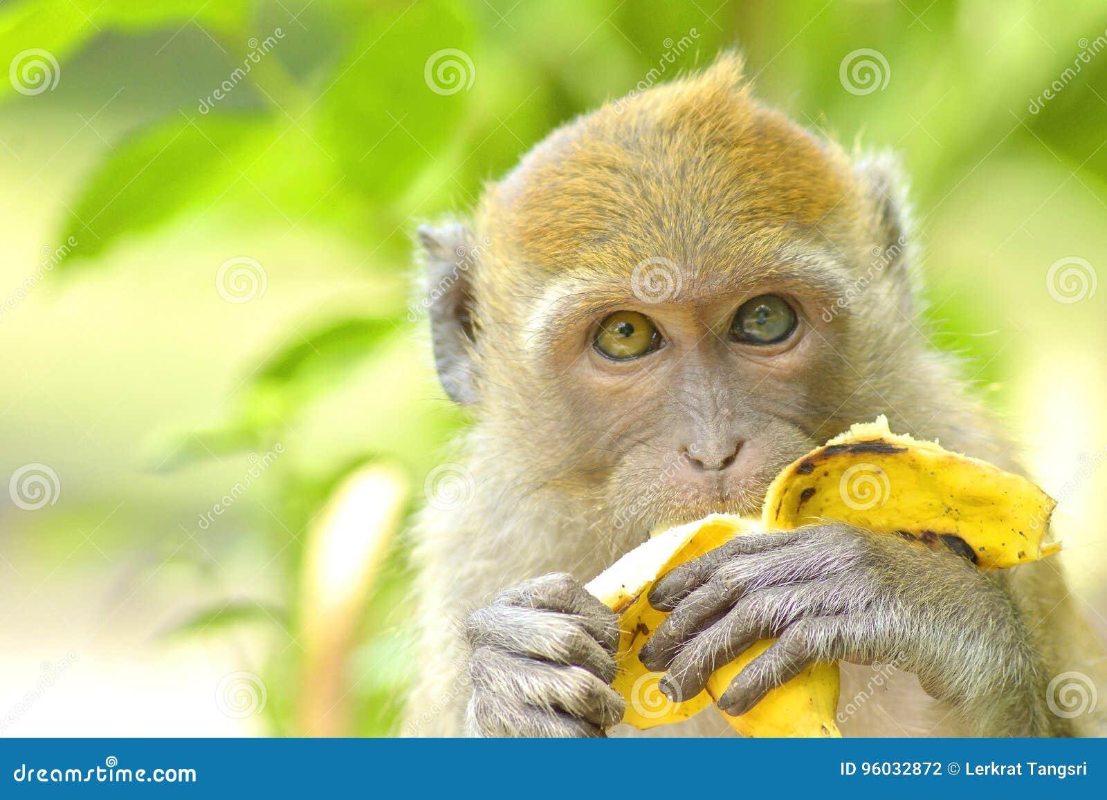 Potomstwa małpują łasowanie banana