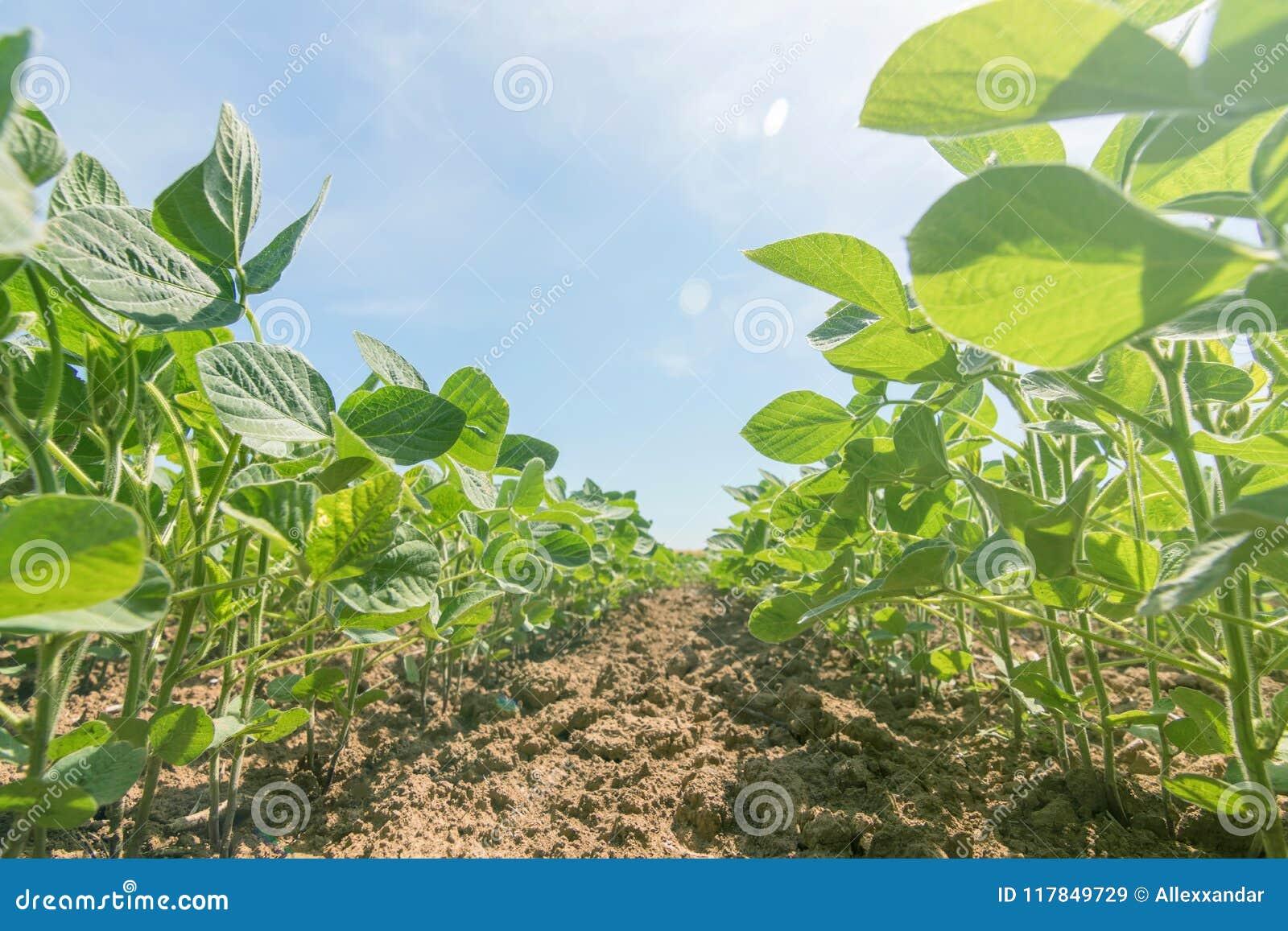 Potomstwa zielenieją soj rośliny z wielkimi liśćmi r w polu