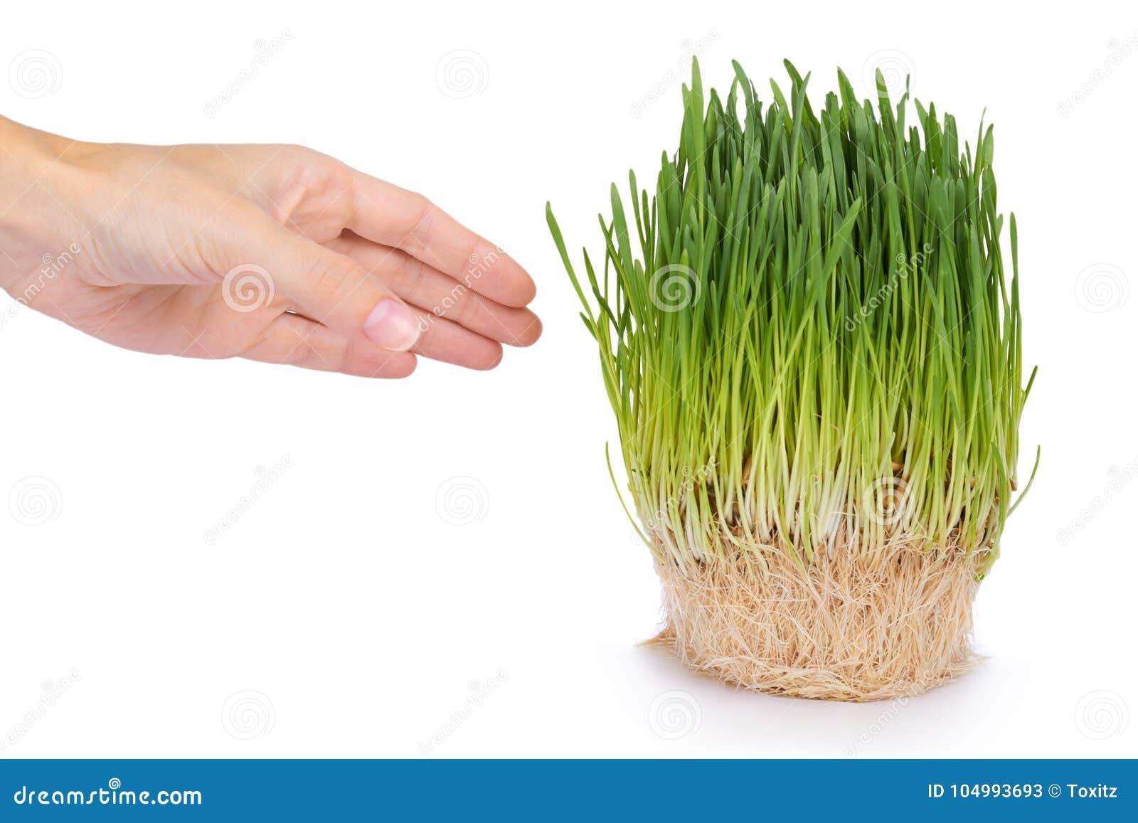Potomstwo adry flanca w ręce odizolowywającej na białym tle, zielona trawa, zdrowy jedzenie