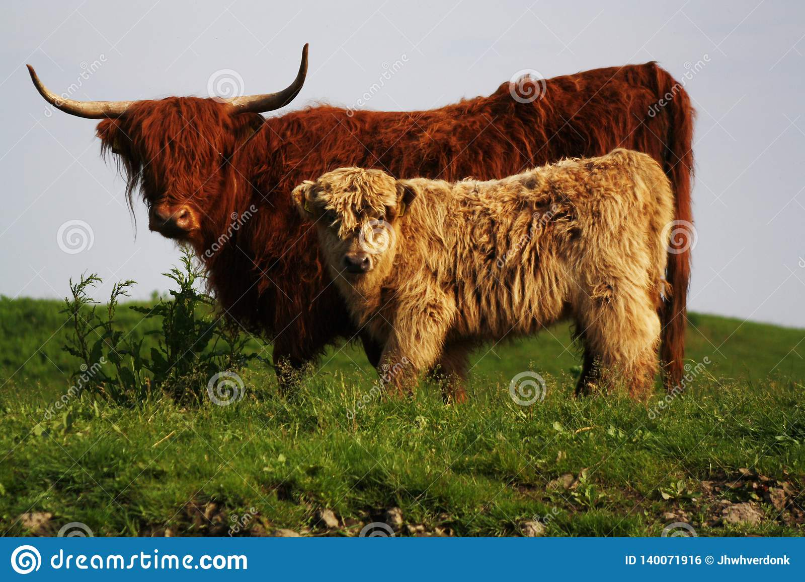 Potrait highlander μητέρων και παιδιών, άγριες αγελάδες στην Ευρώπη