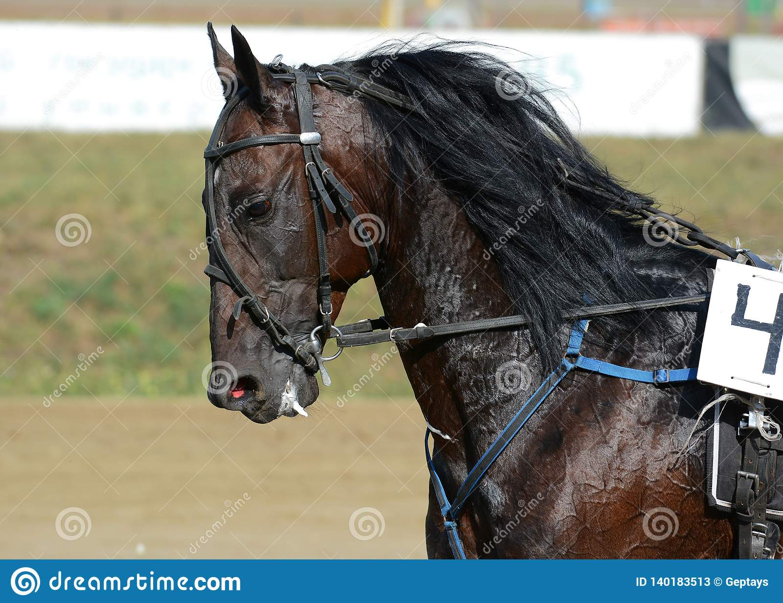 Potrait Of Strong Dark Bay Horse Trotter Breed In Motion On Hippodrome Stock Image Image Of Mammal Athlete 140183513