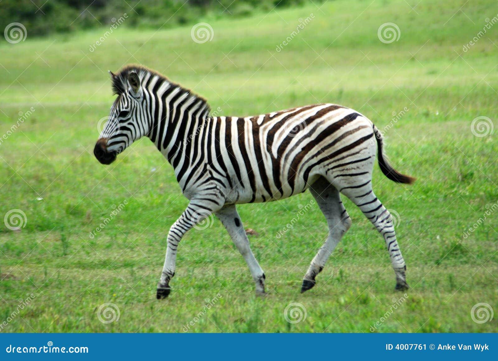 Potro da zebra