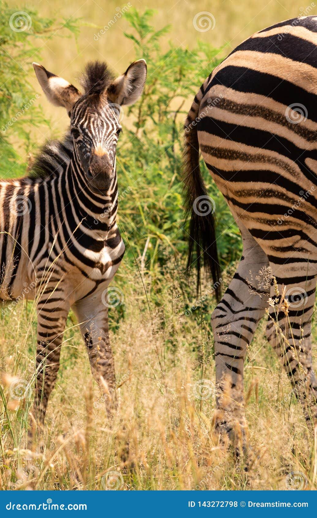 Potro da zebra atrás de sua represa