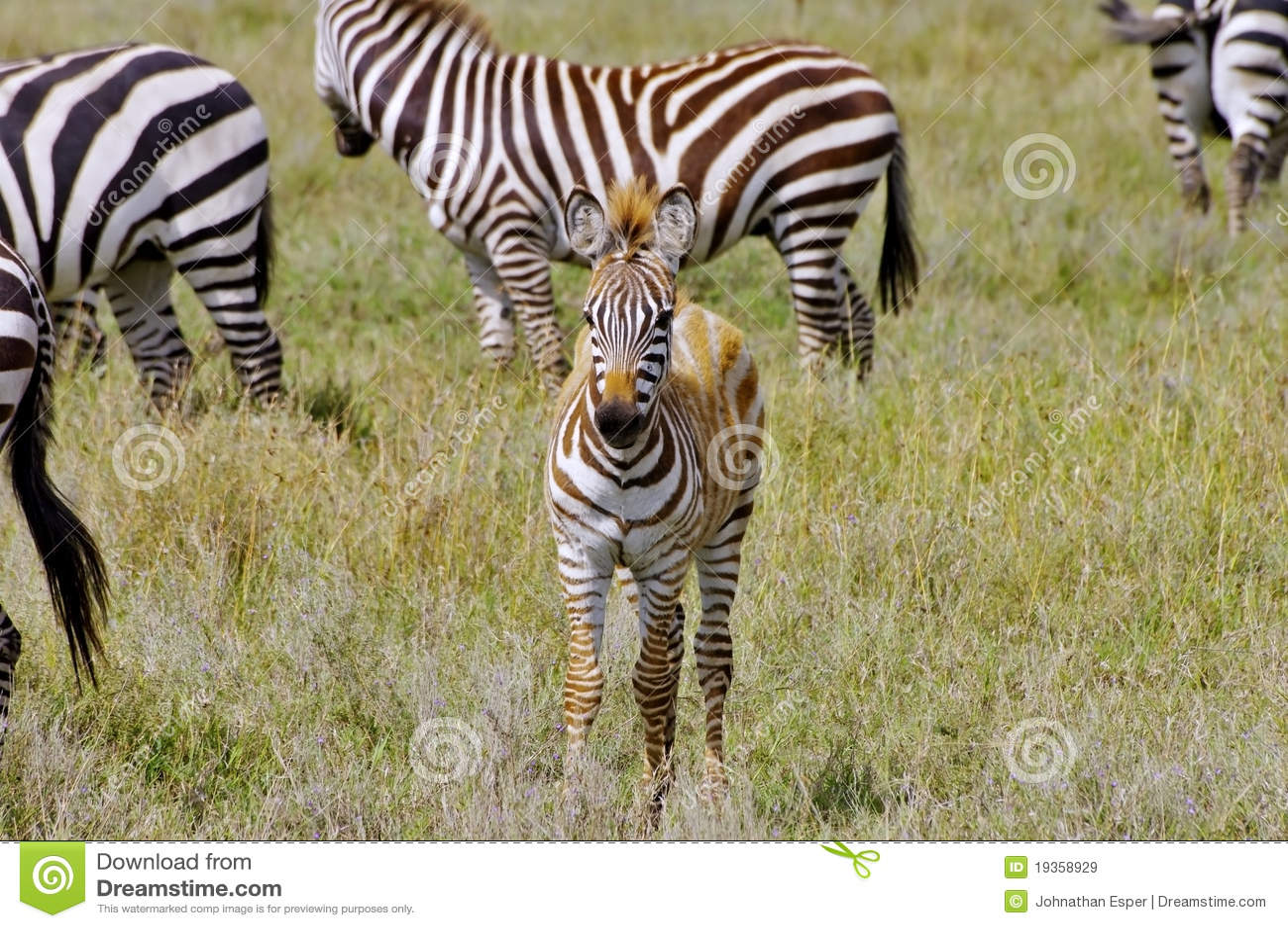 Potro nas planícies de Serengeti, Tanzânia da zebra