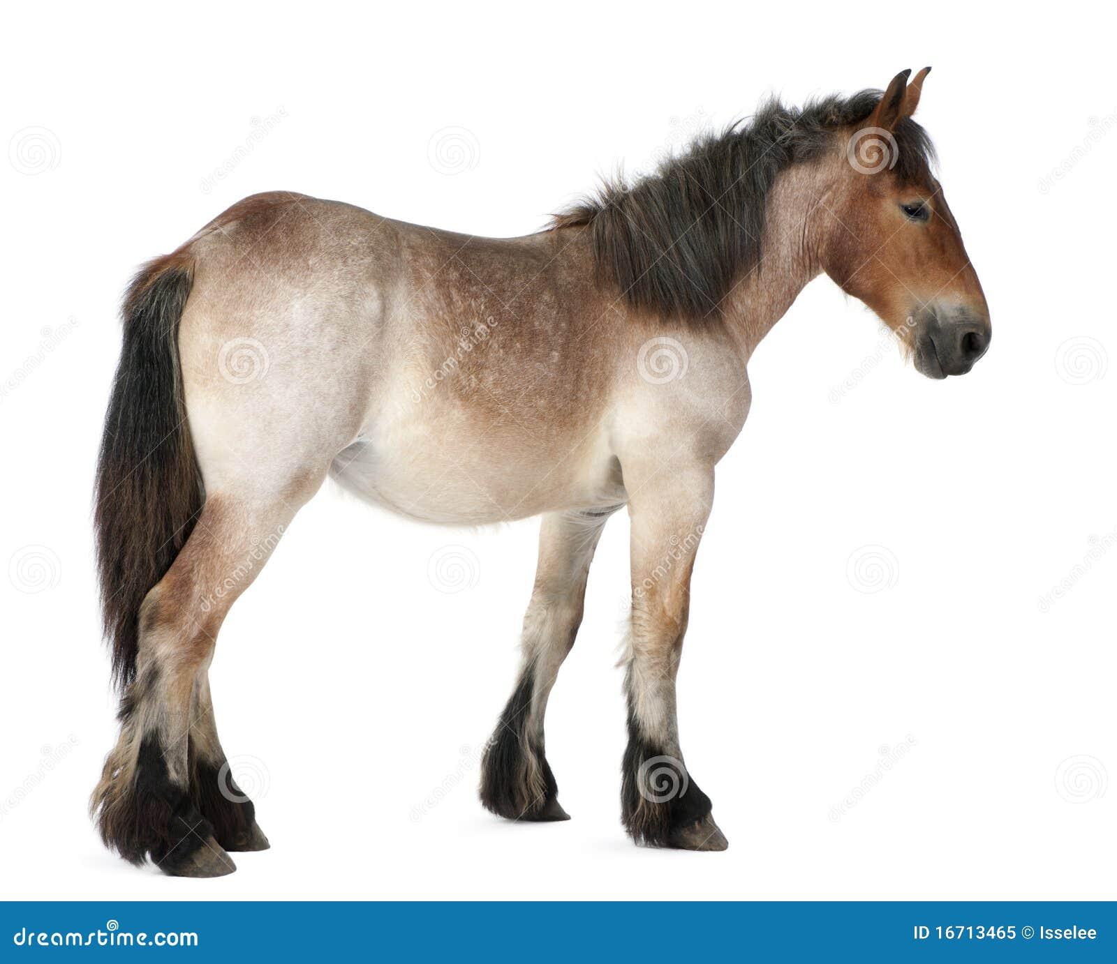 Potro pesado belga do cavalo, Brabancon