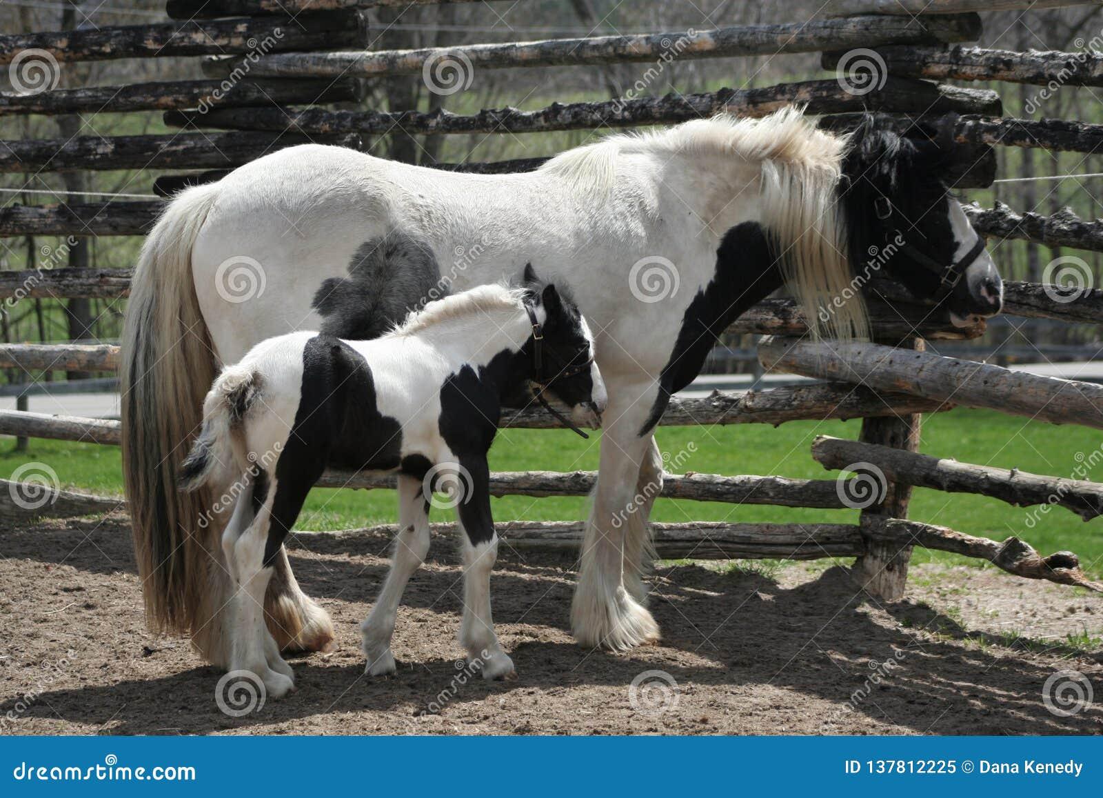 Potro preto e branco bonito e cavalo da mamãe