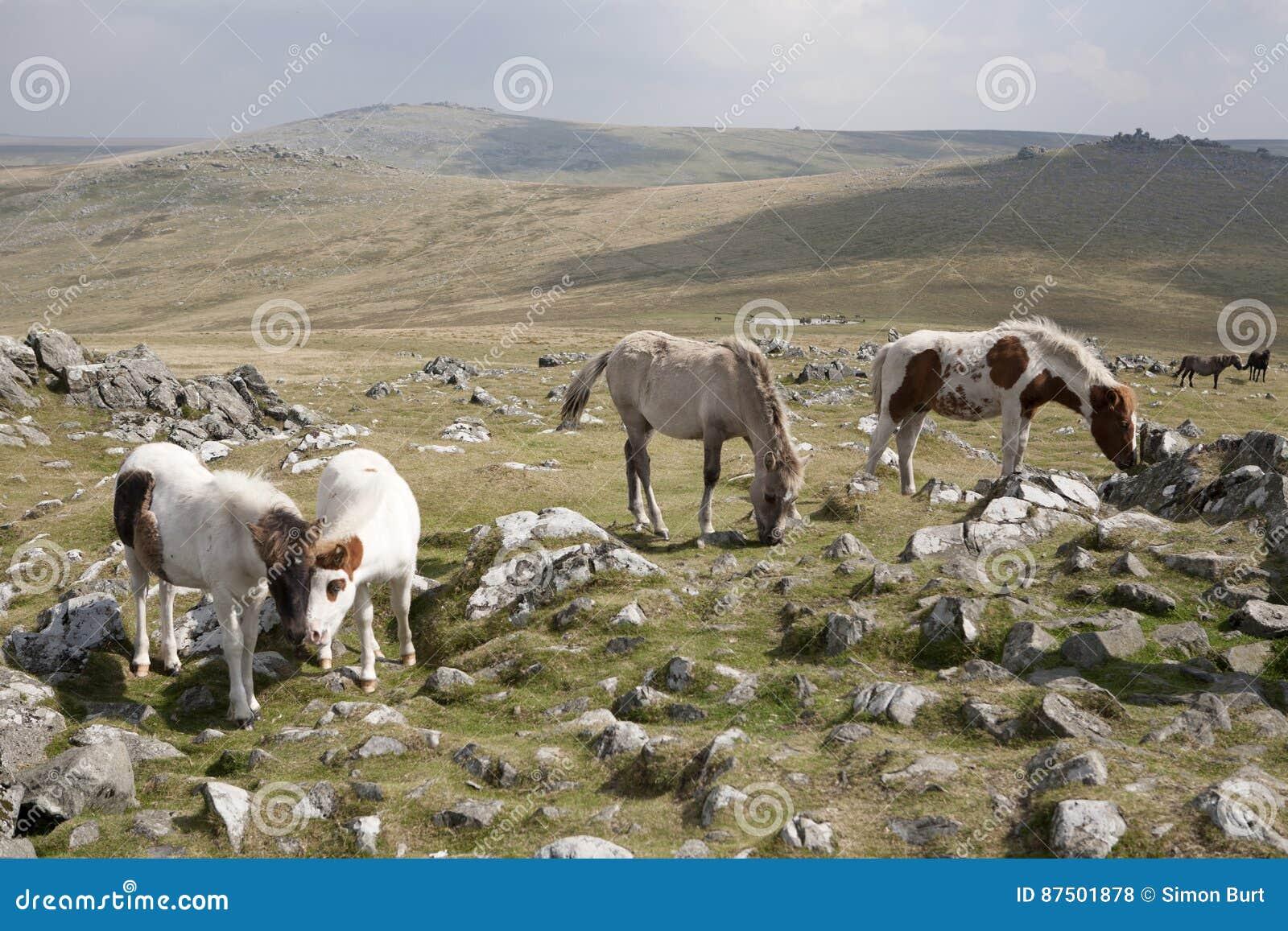 Potros de Dartmoor