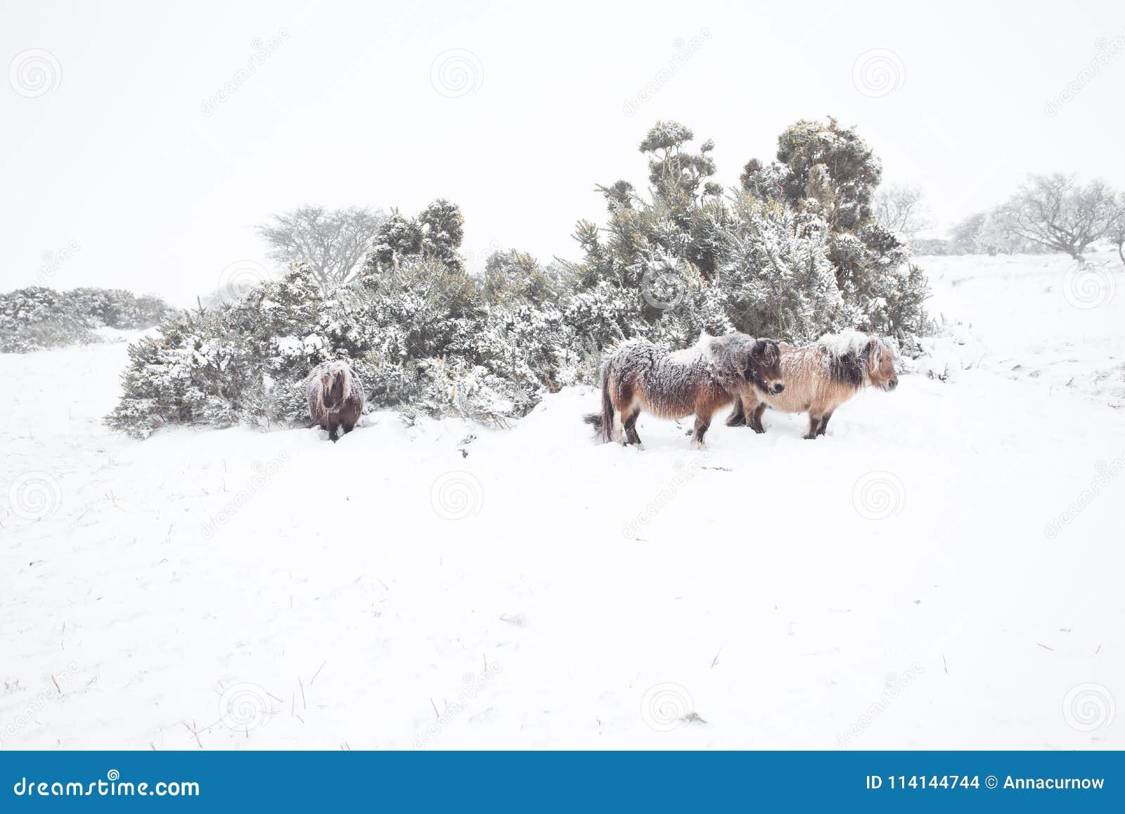 Potros de Dartmoor en dartmoor de la nieve