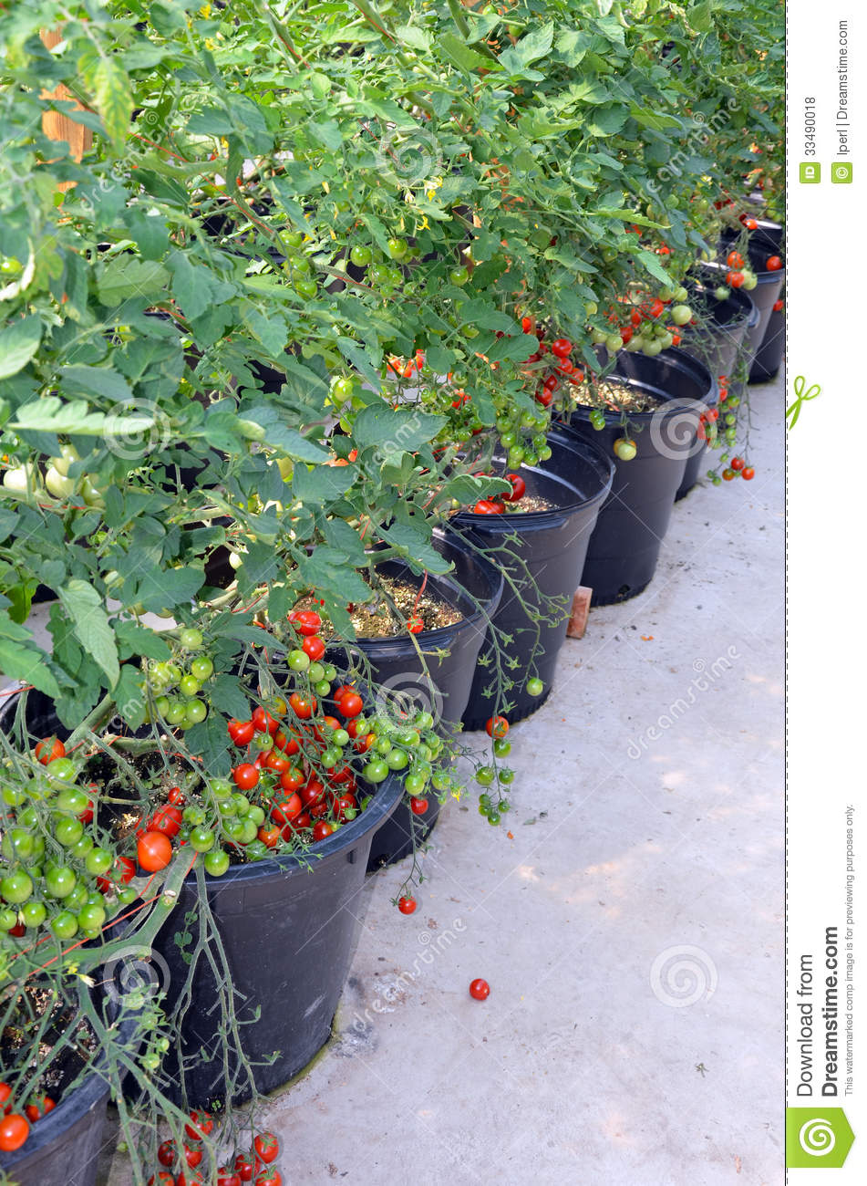Pots of cherry tomato plants royalty free stock photos - Planter tomates cerises en pot ...