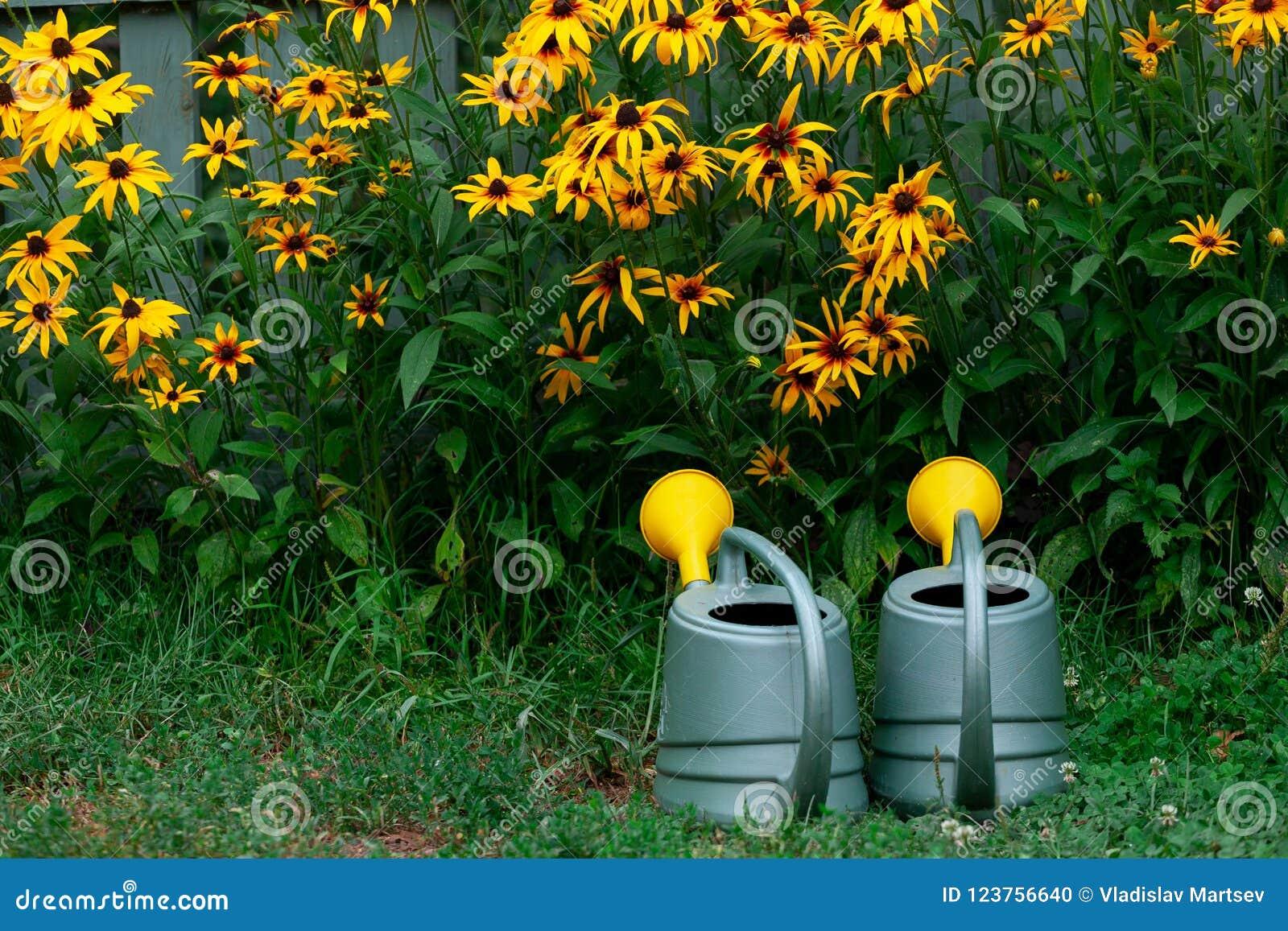 Pots d arrosage près du parterre du rudbeckia jaune dans le jardin
