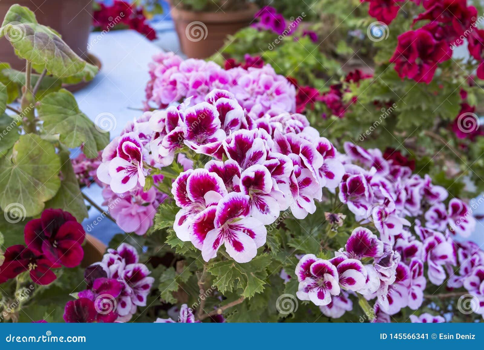In pots geranium flowers fresh and beautiful