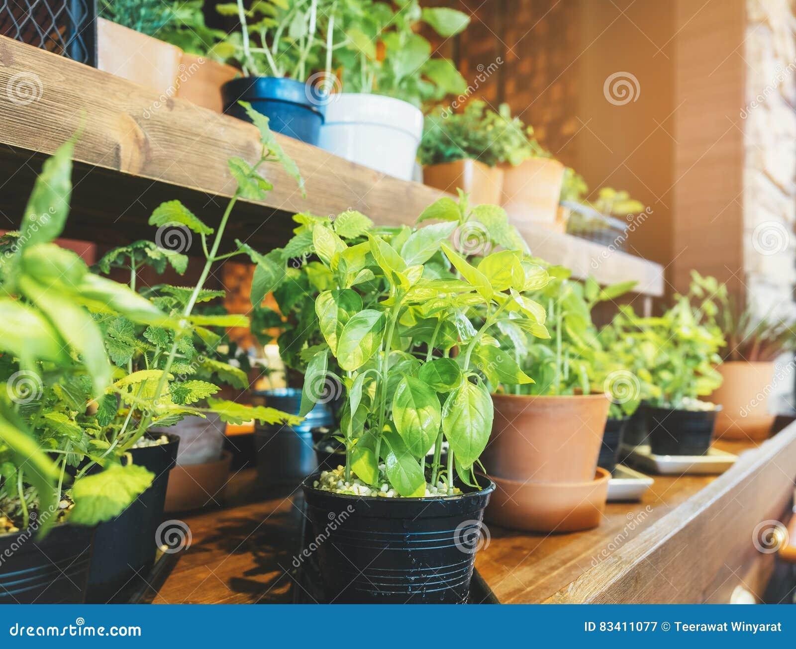 Pots Saints De Basil Herb Plant Sur Le Jardin En Bois D\'étagère ...