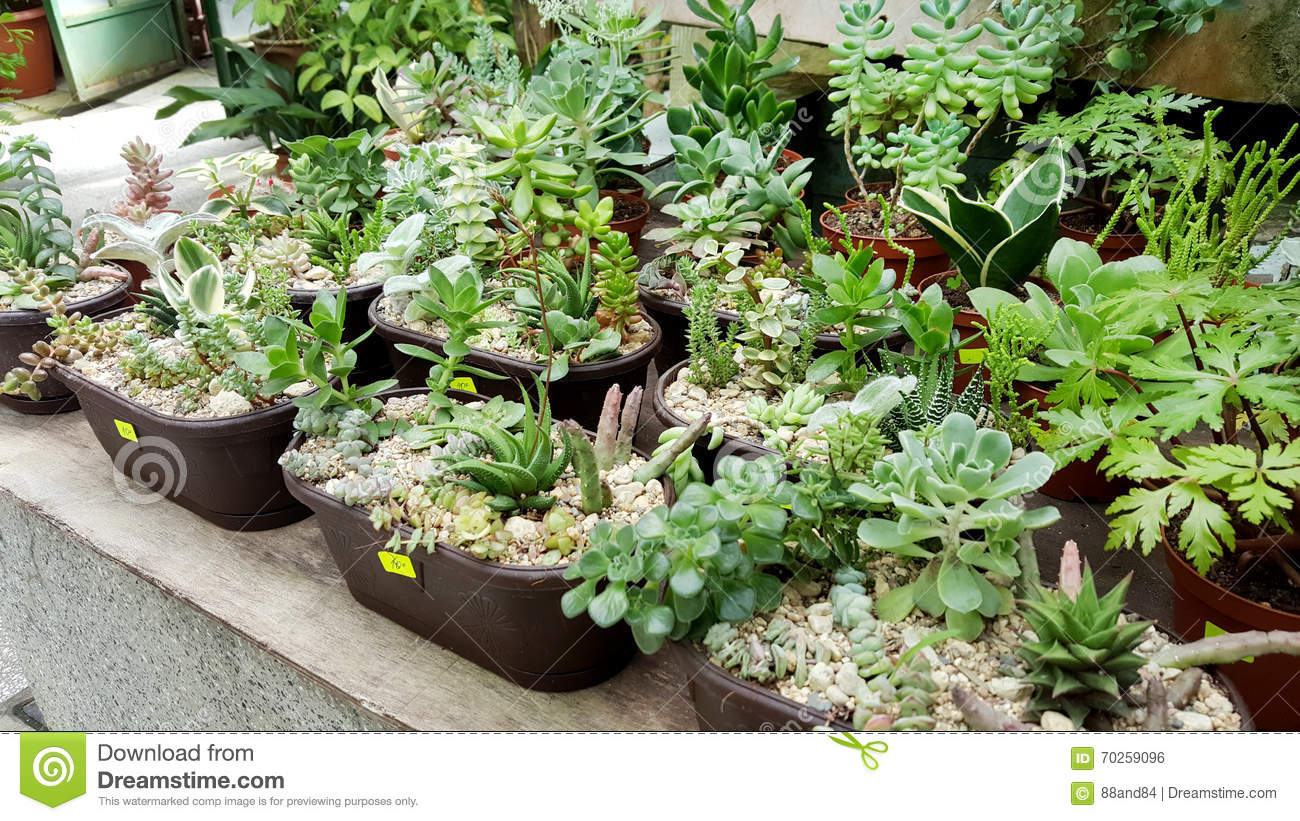 Pots with small blooming cacti succulent plants royalty for Small green outdoor plants