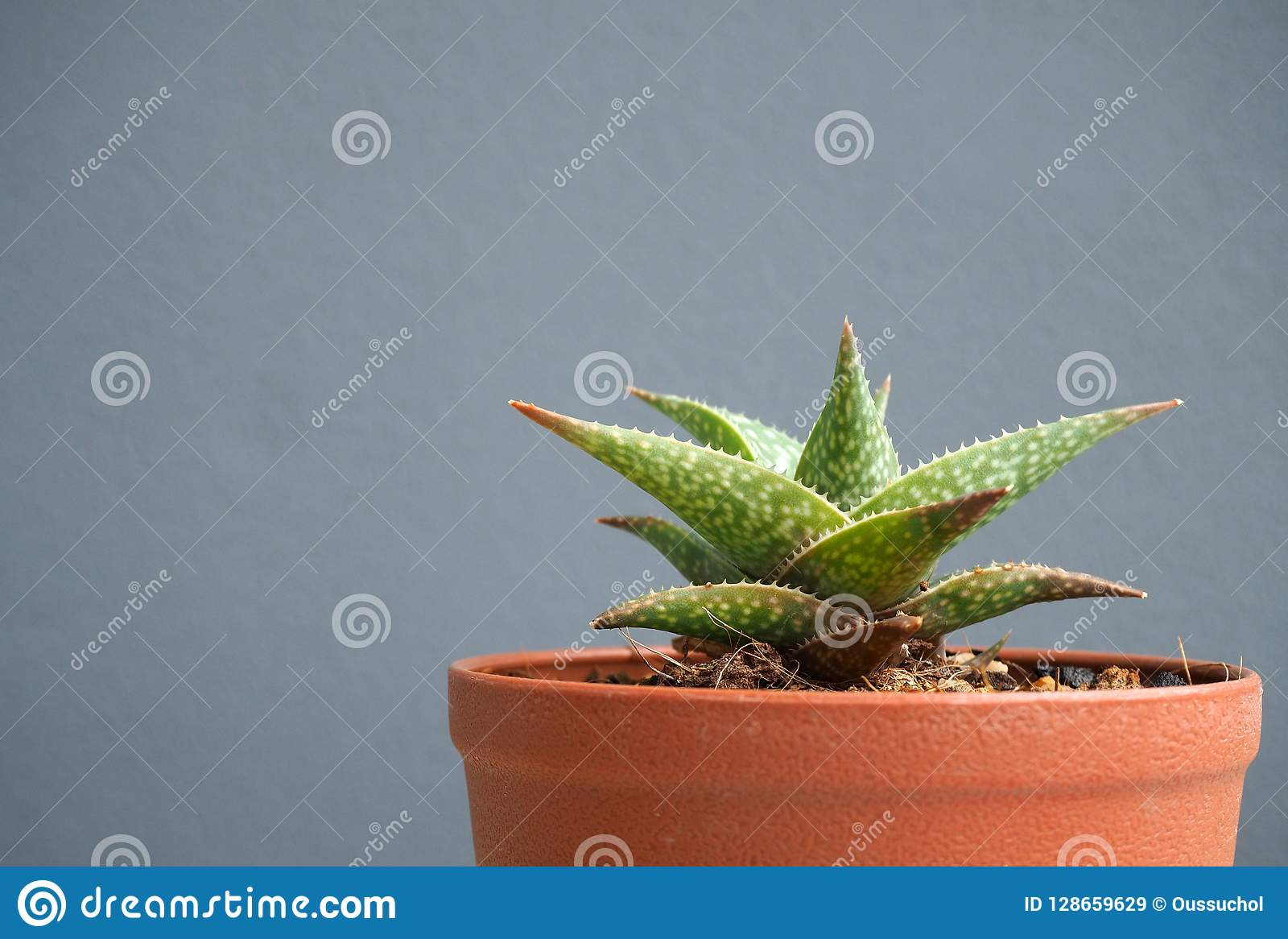 Potted Cactus Isolated On Gray Background Stock Image Image Of Potted Flowerpot 128659629