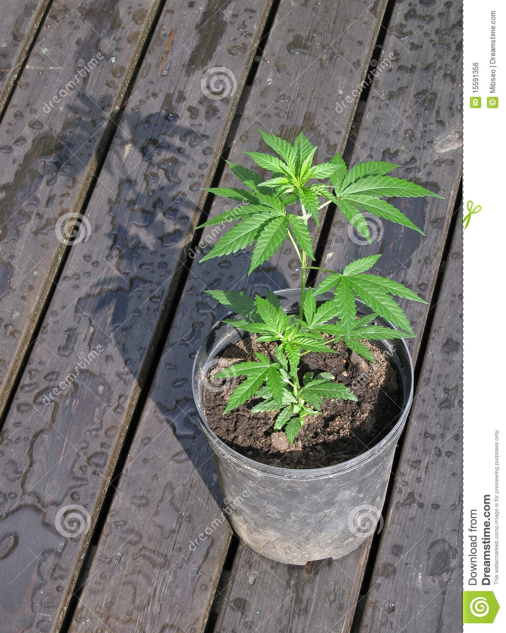 a description of marijuana as a drug that comes from the plant cannabis Marijuana and cannabis information from drugs  and flowers of the hemp plant cannabis sativa marijuana is used as a  cannabis, a schedule i drug,.