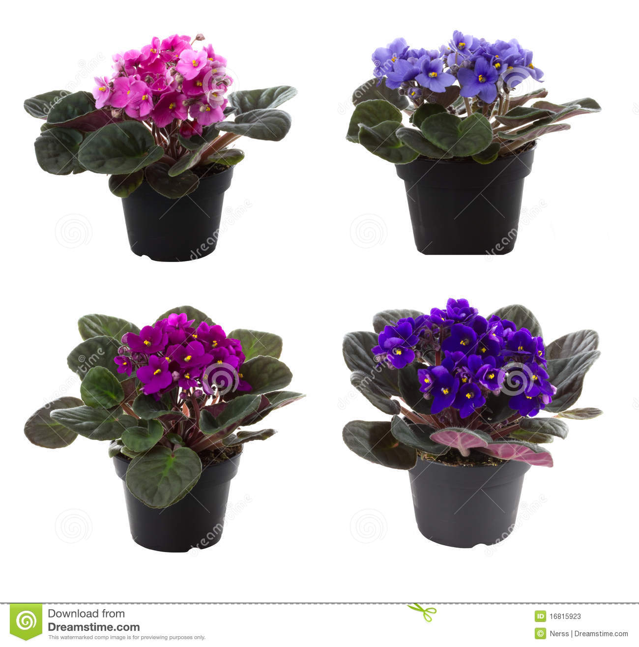 Potted flowers saintpaulia flower, isolated on white background.