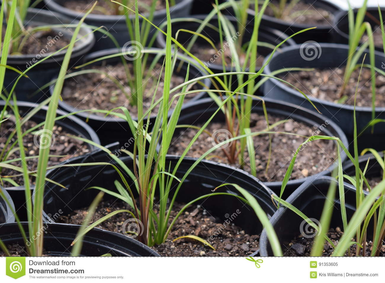 Potted grass seedlings grown in a hoop tunnel
